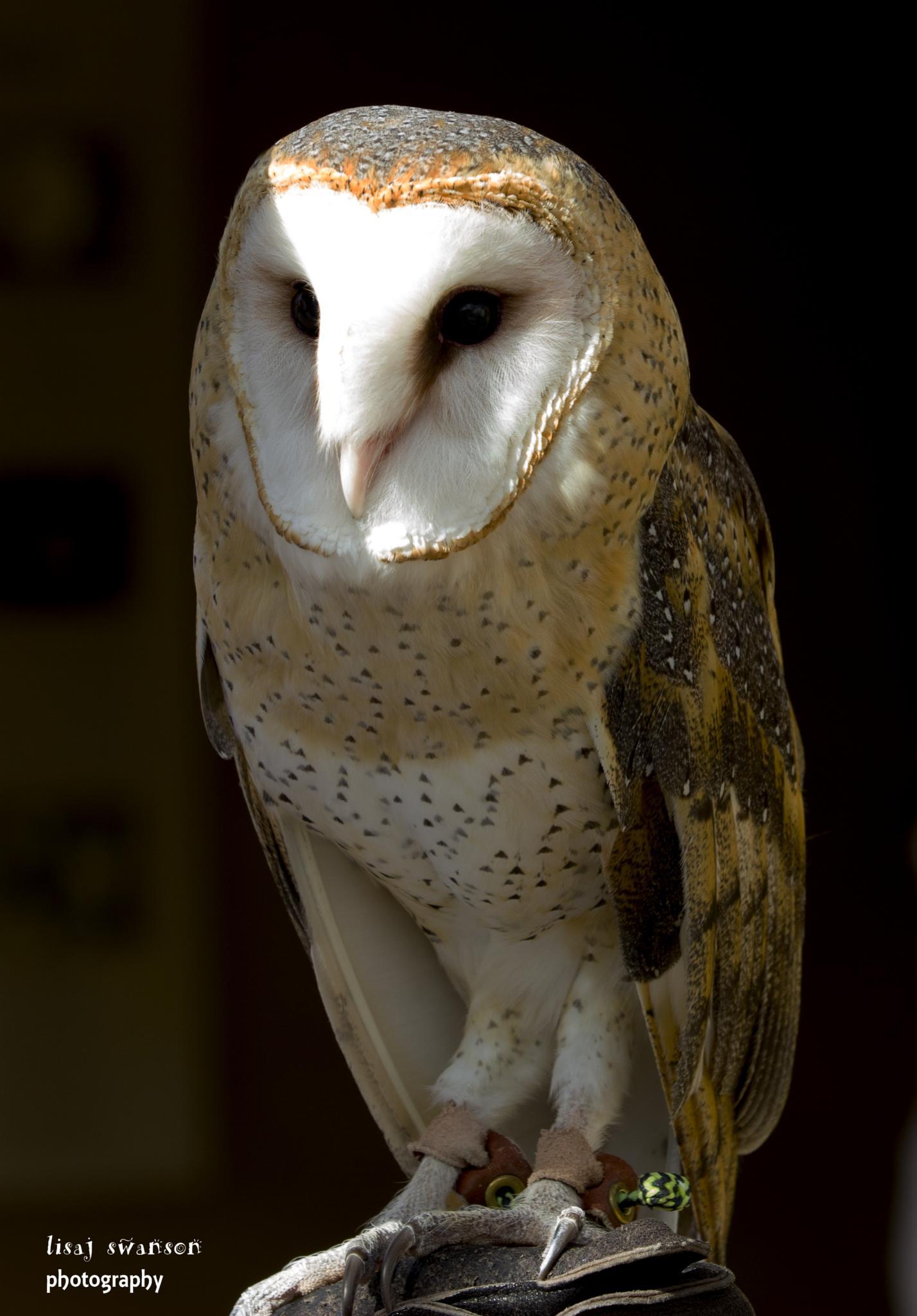 Beautiful barn owl by lisa.meyersswanson