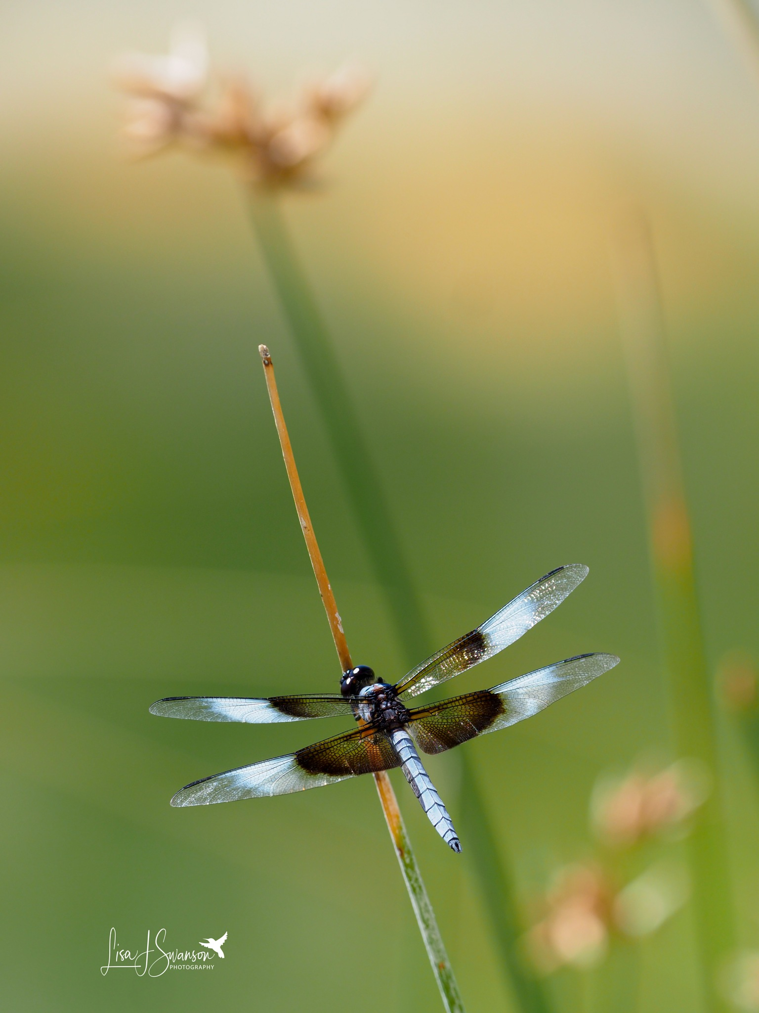 Widow Skimmer! by lisa.meyersswanson