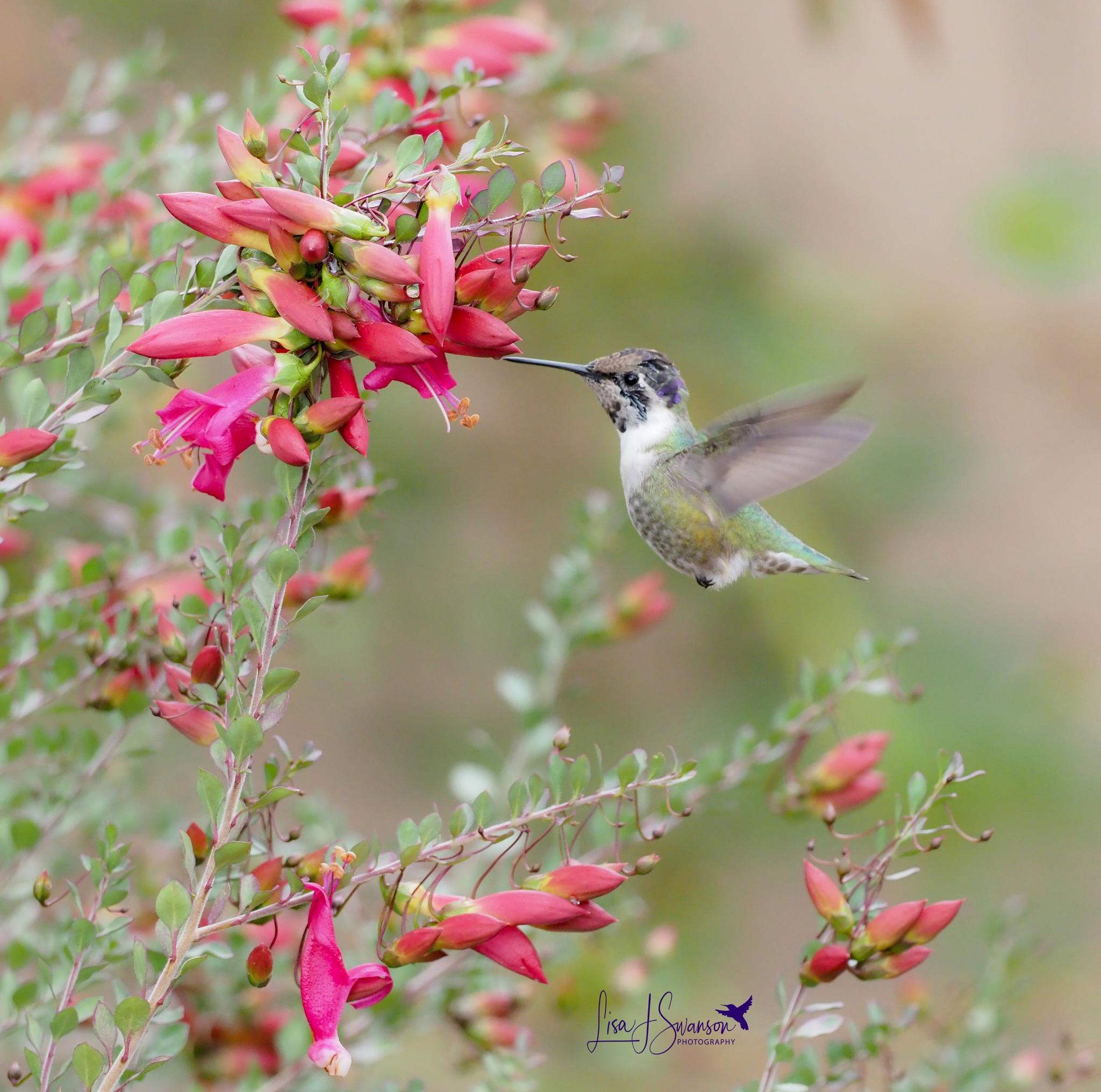 Photo in Animal #animal #nature #wildlife #birds #hummingbirds #beauty