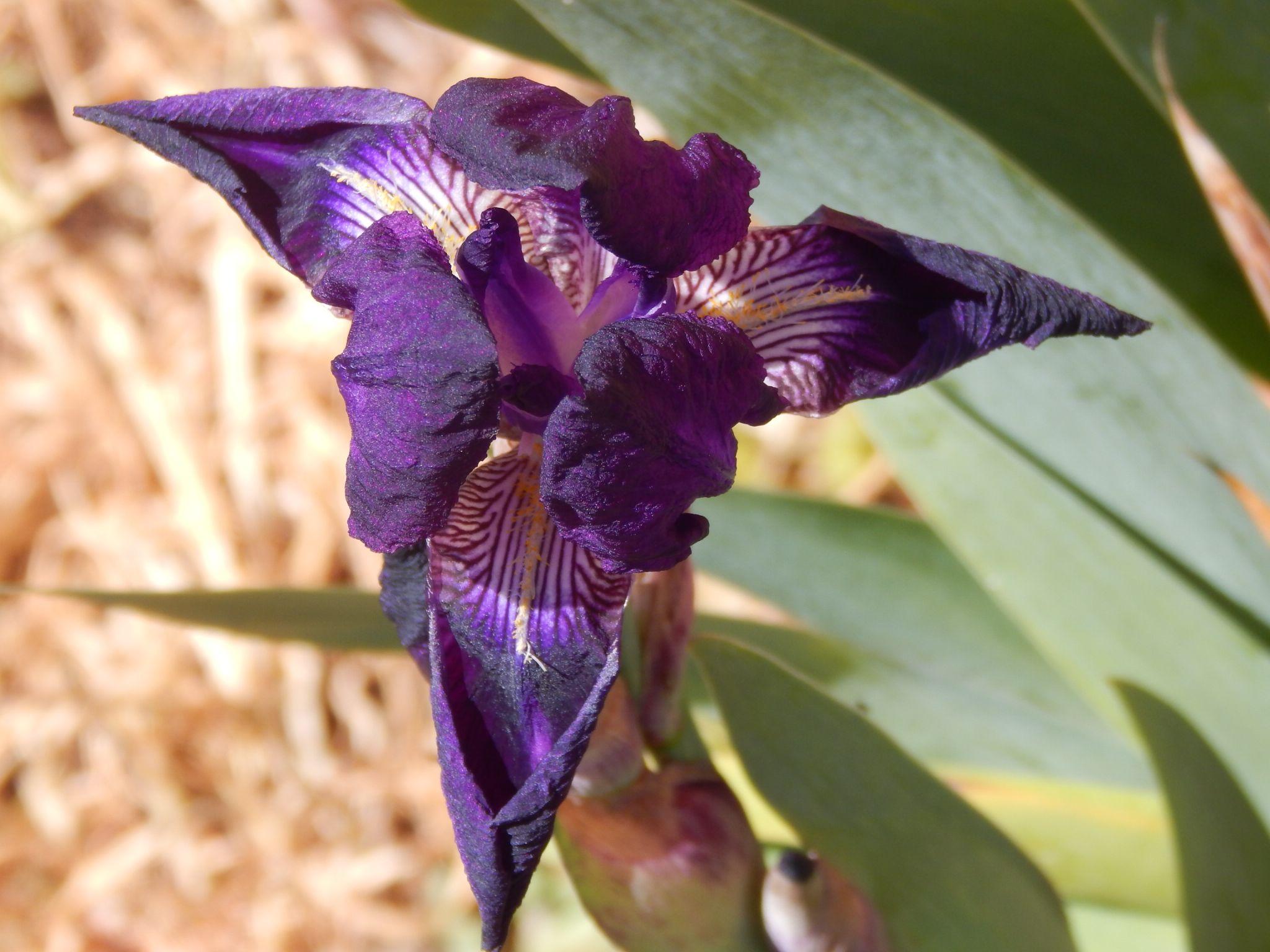 1st spring Iris by twiggy121864