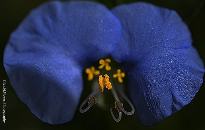 Commelina Closer Look  by Eliya.M. Moses