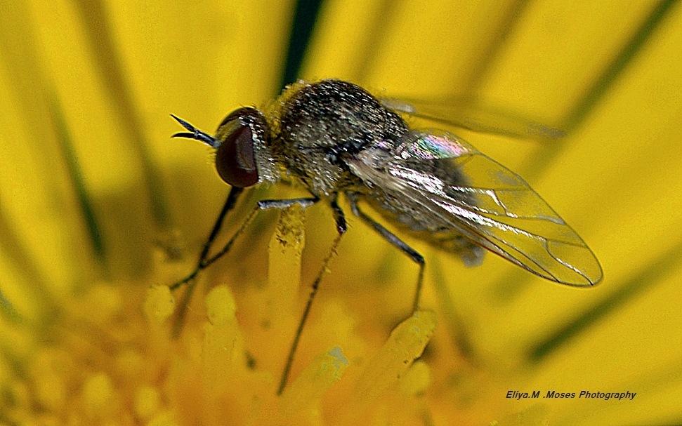 Few mm of Bombil Fly  by Eliya.M. Moses