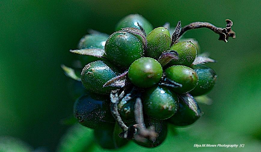Lantanna Poiseness Fruit  by Eliya.M. Moses