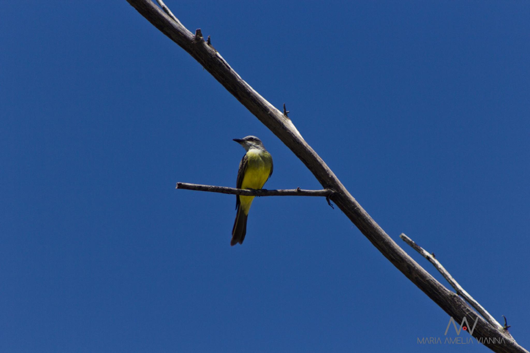 Bem-te-vi bird by Maria Amelia Photos