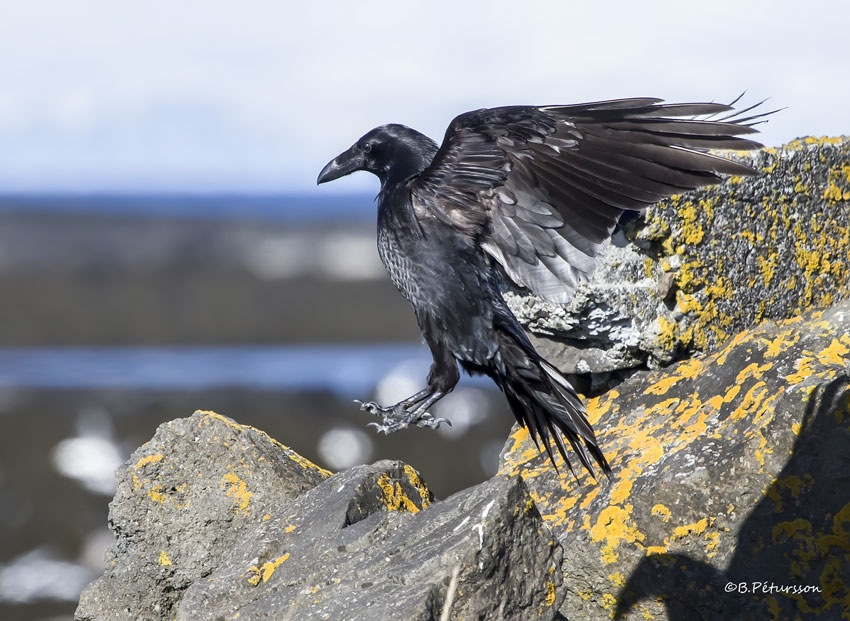 Raven  by © B.Pétursson