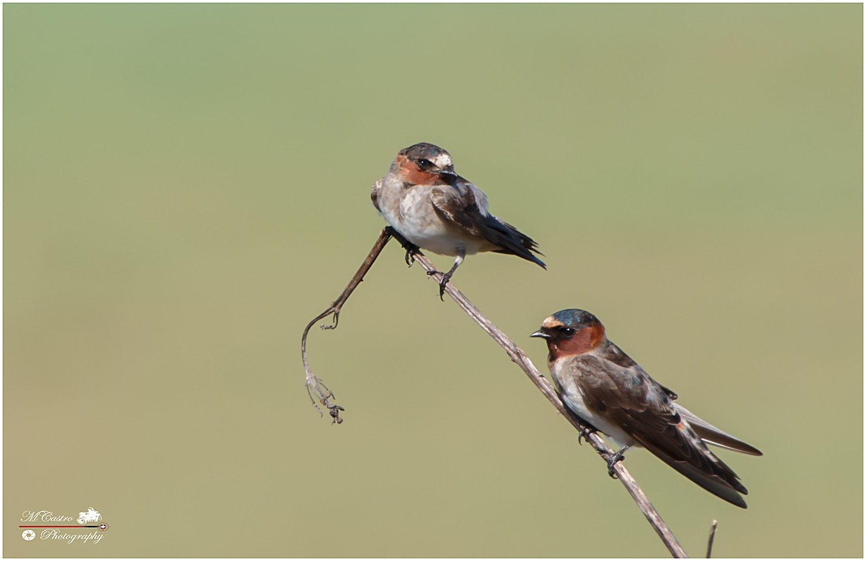 Cliff Swallow - Petrochelidon pyrrhonota - Golondrinas...  by Marco V. Castro