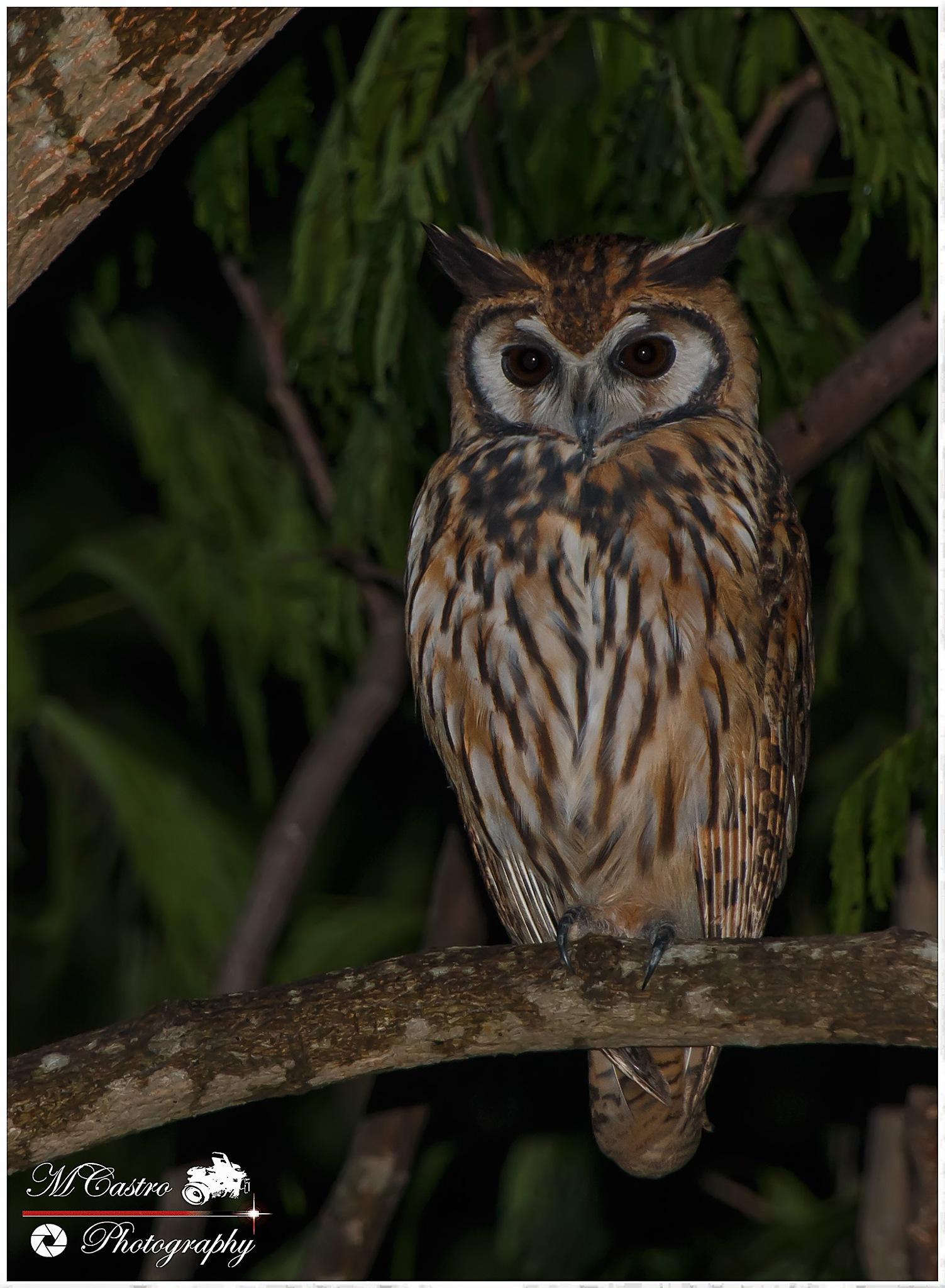 Striped Owl by Marco V. Castro