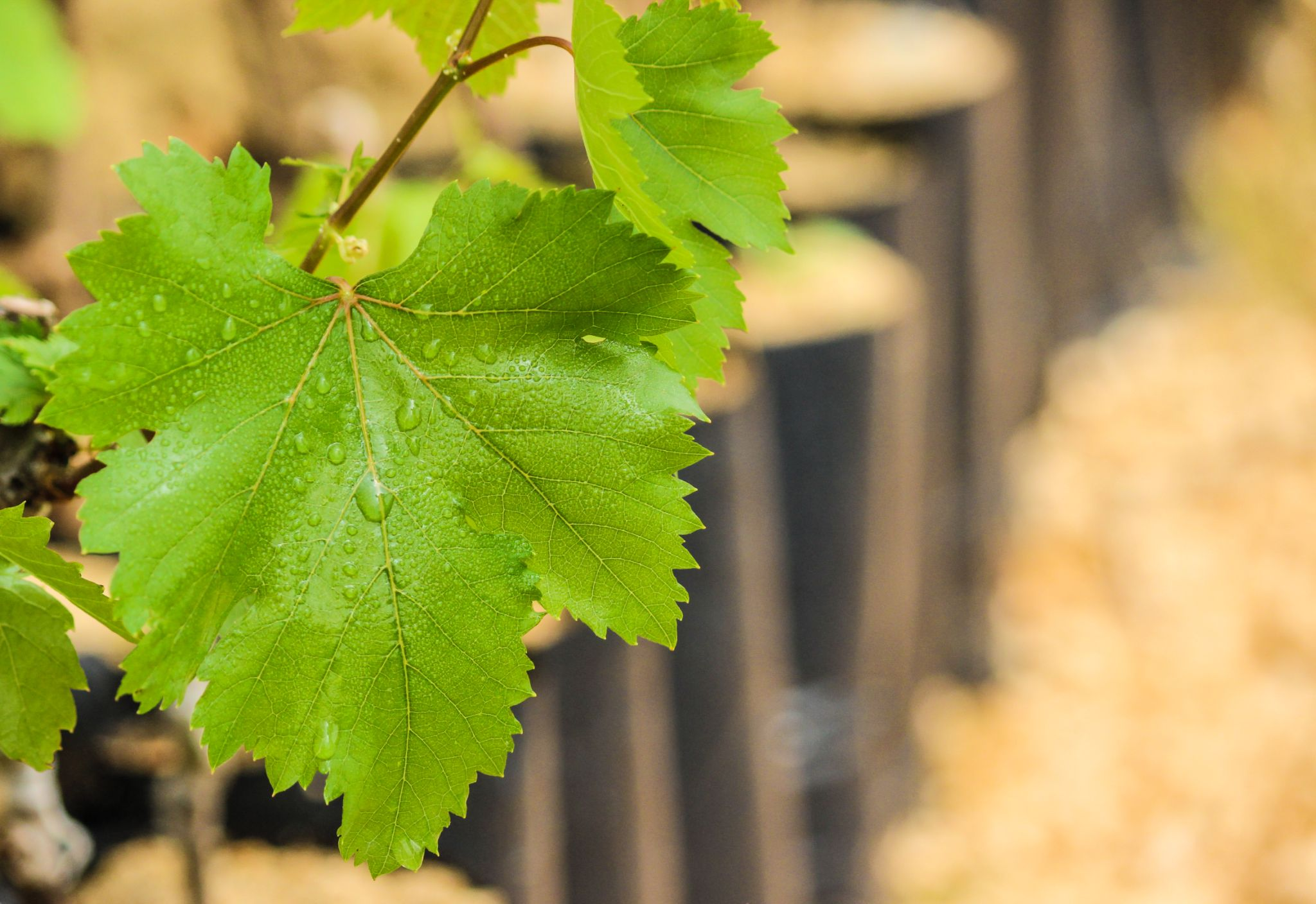 Vine leaves by Hazem_Khattab