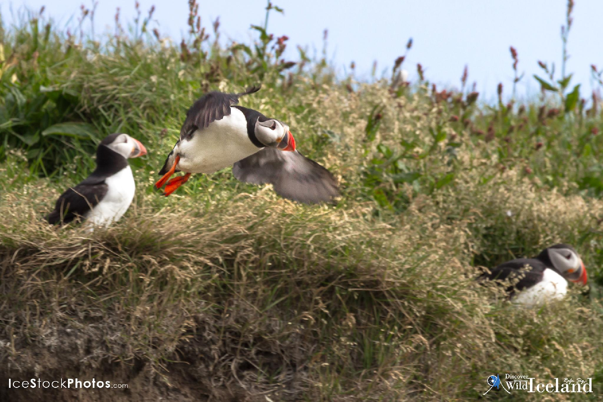 Discover Wild Iceland – Like the Puffins in Iceland by Rafn Sig,-  @ Discover Wild Iceland.com