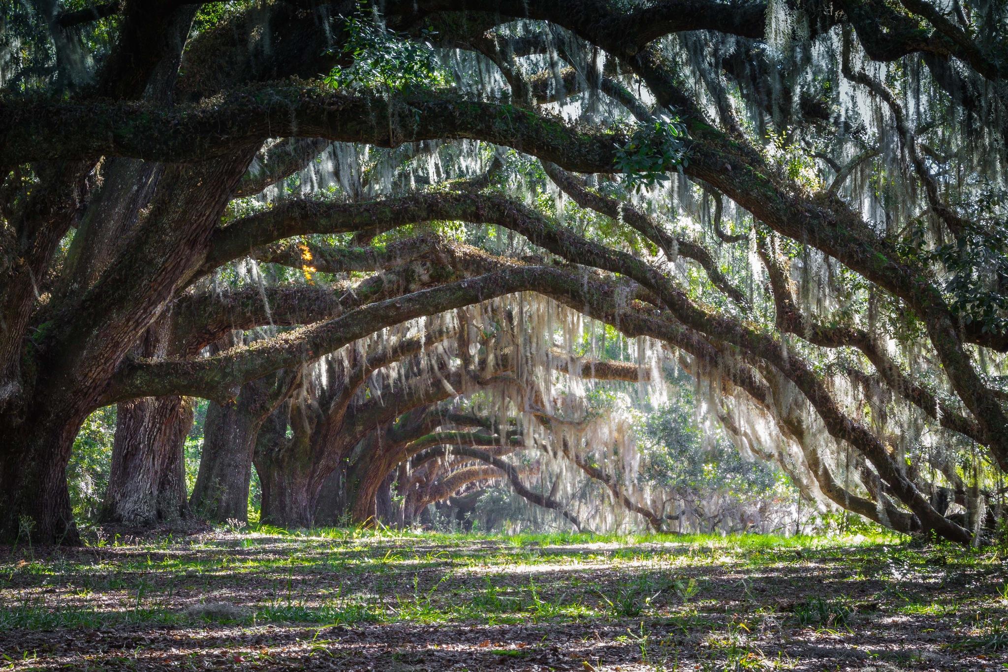 Plantation Oaks by Mary Hulett