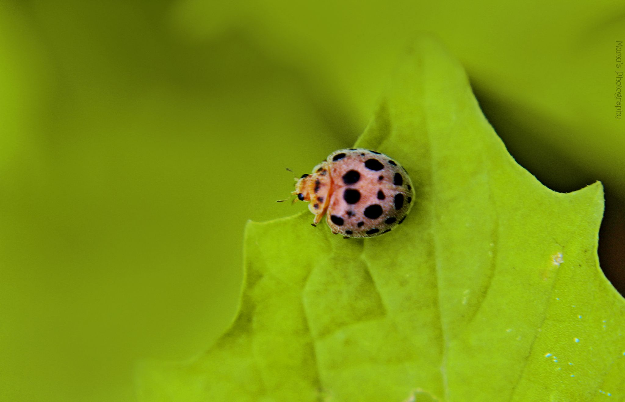 28 spotted potato ladybird by xanthippe_xan