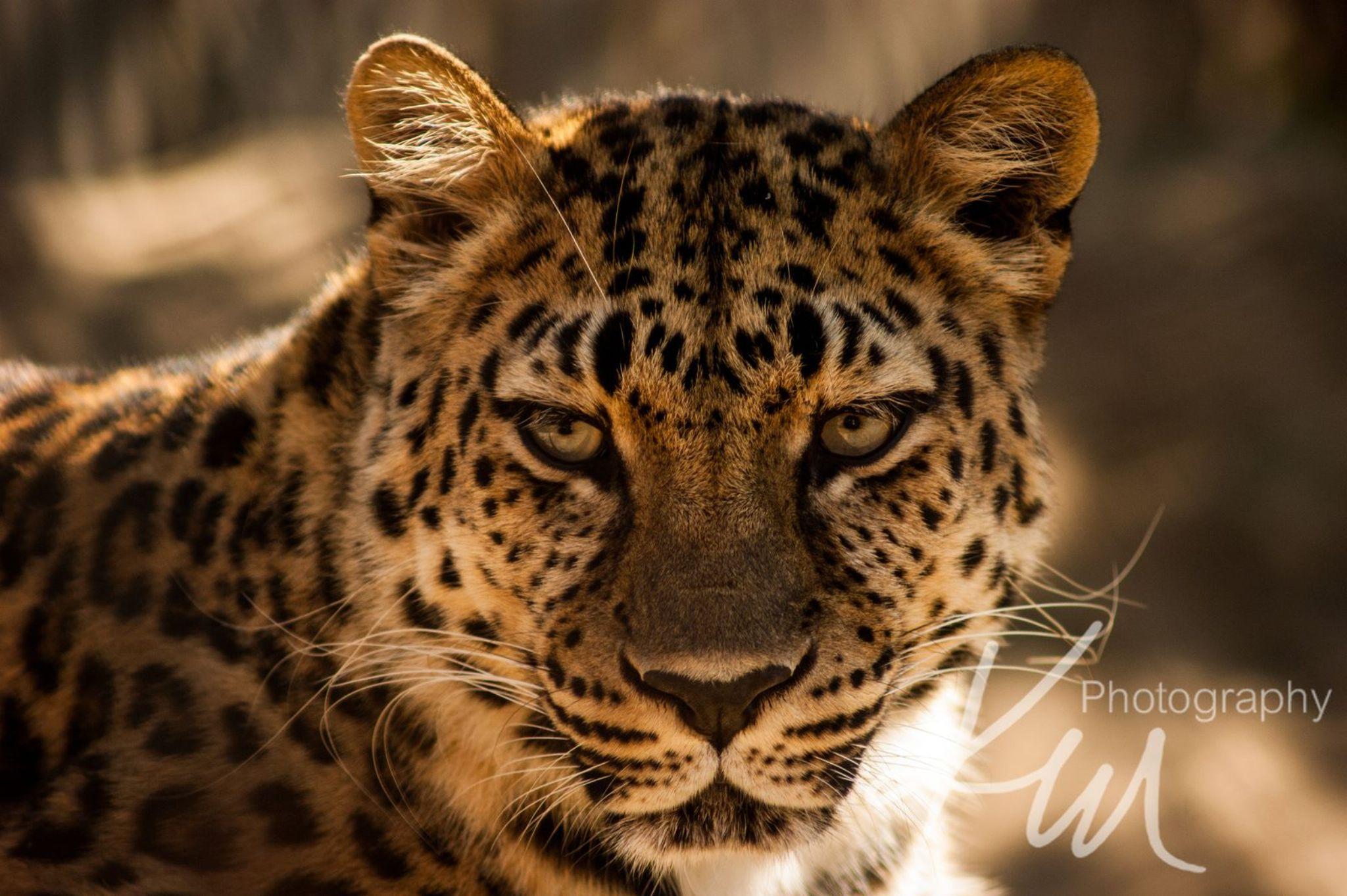 Leopard Stare Down by Kali Morgan