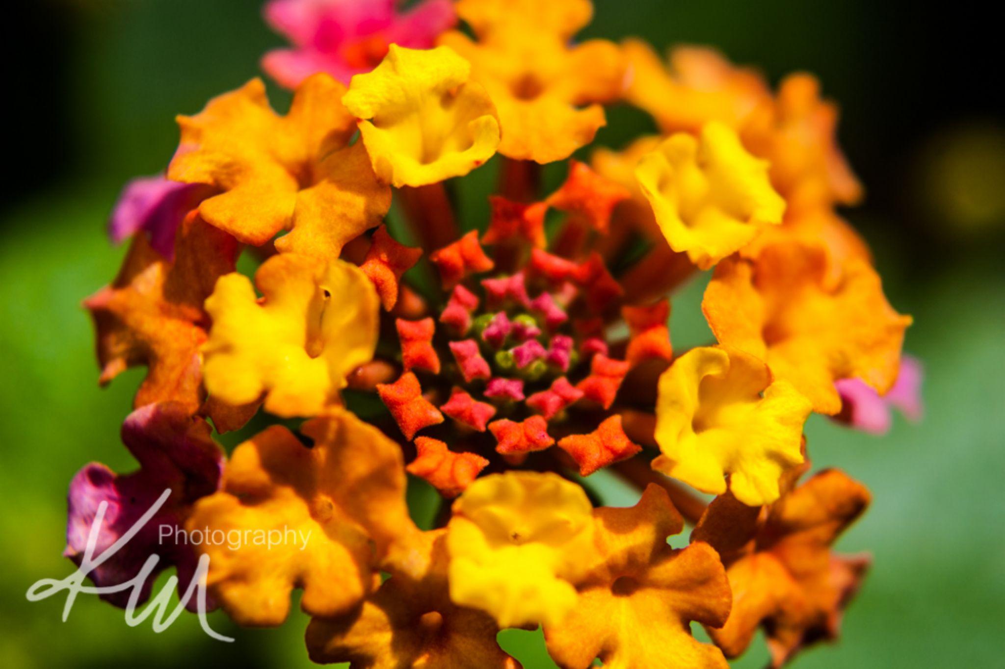 Lantana flower by Kali Morgan
