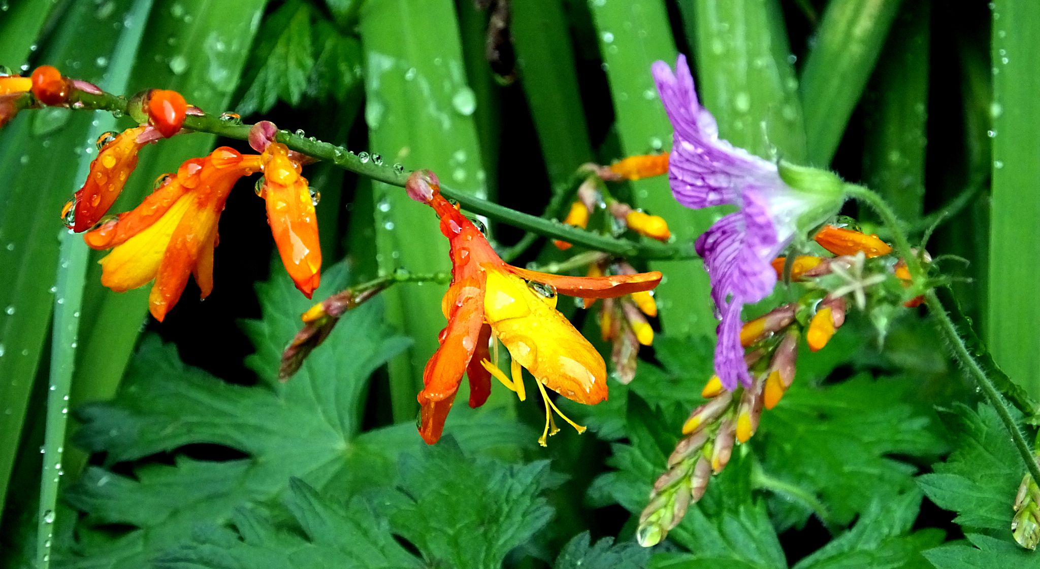 GHarden flowers and rain 2 by WhiteArtPhotography