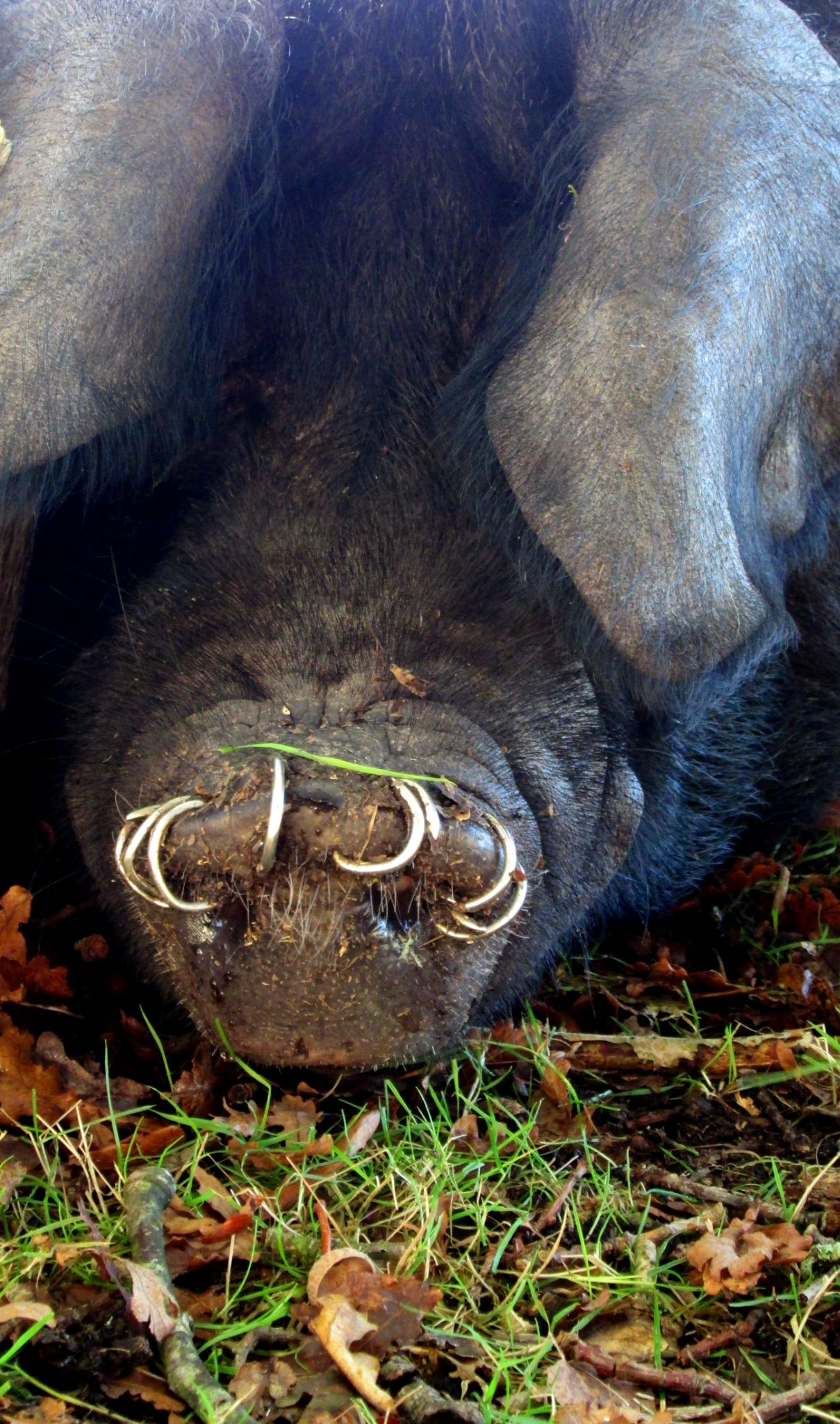 Pig nose rings by WhiteArtPhotography