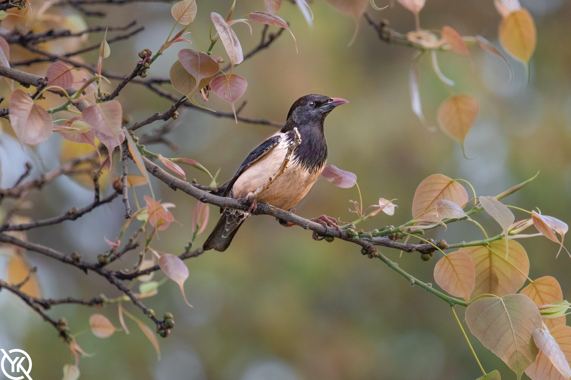 Rosy Starling by YK