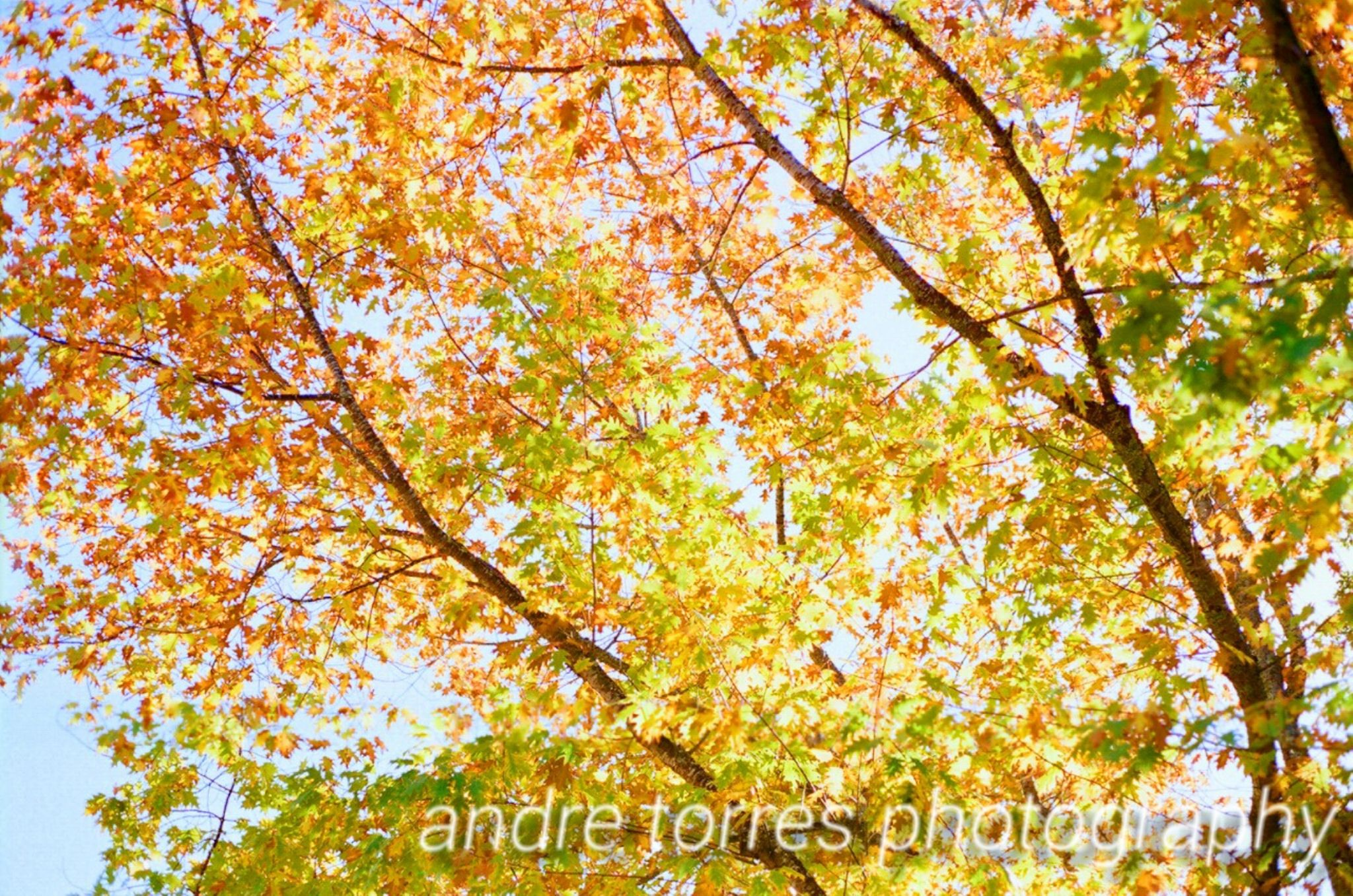 Autum Leaves by Andre M. Torres