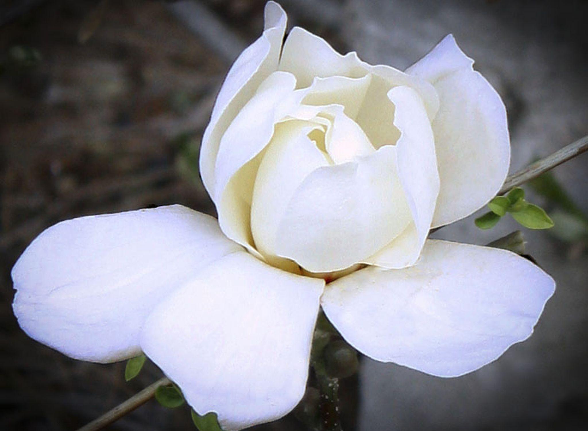 Pretty Magnolia by Brigitte's Butterfly Colours