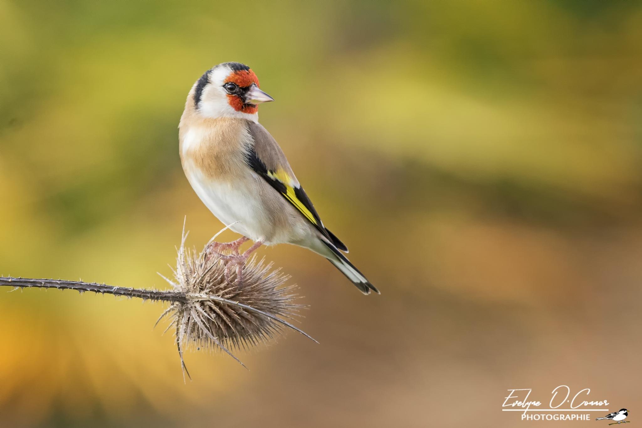 European goldfinch by Evelyne O'Connor