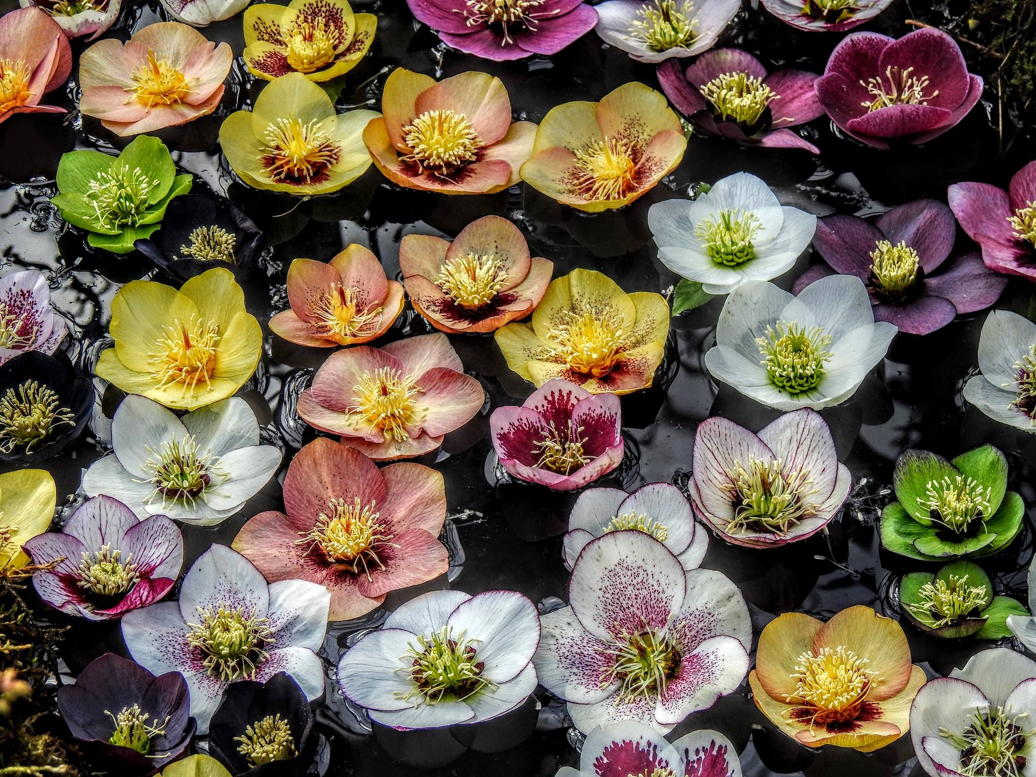 Hellebores Floating On Water  by HappySnappy