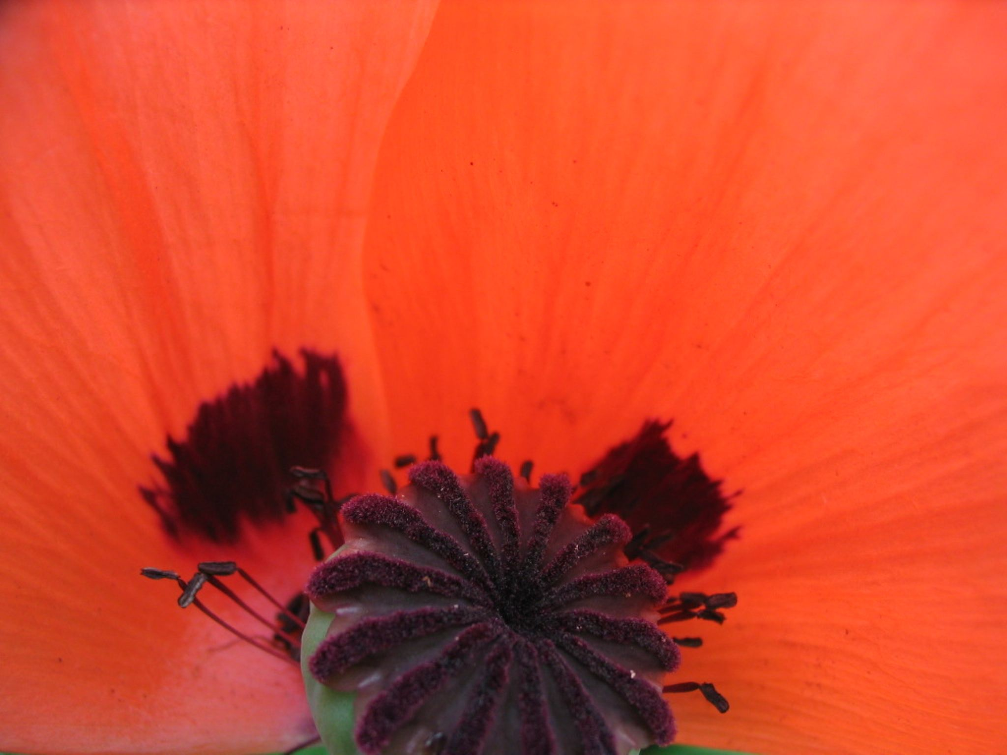 Red Poppy by yellowgreen