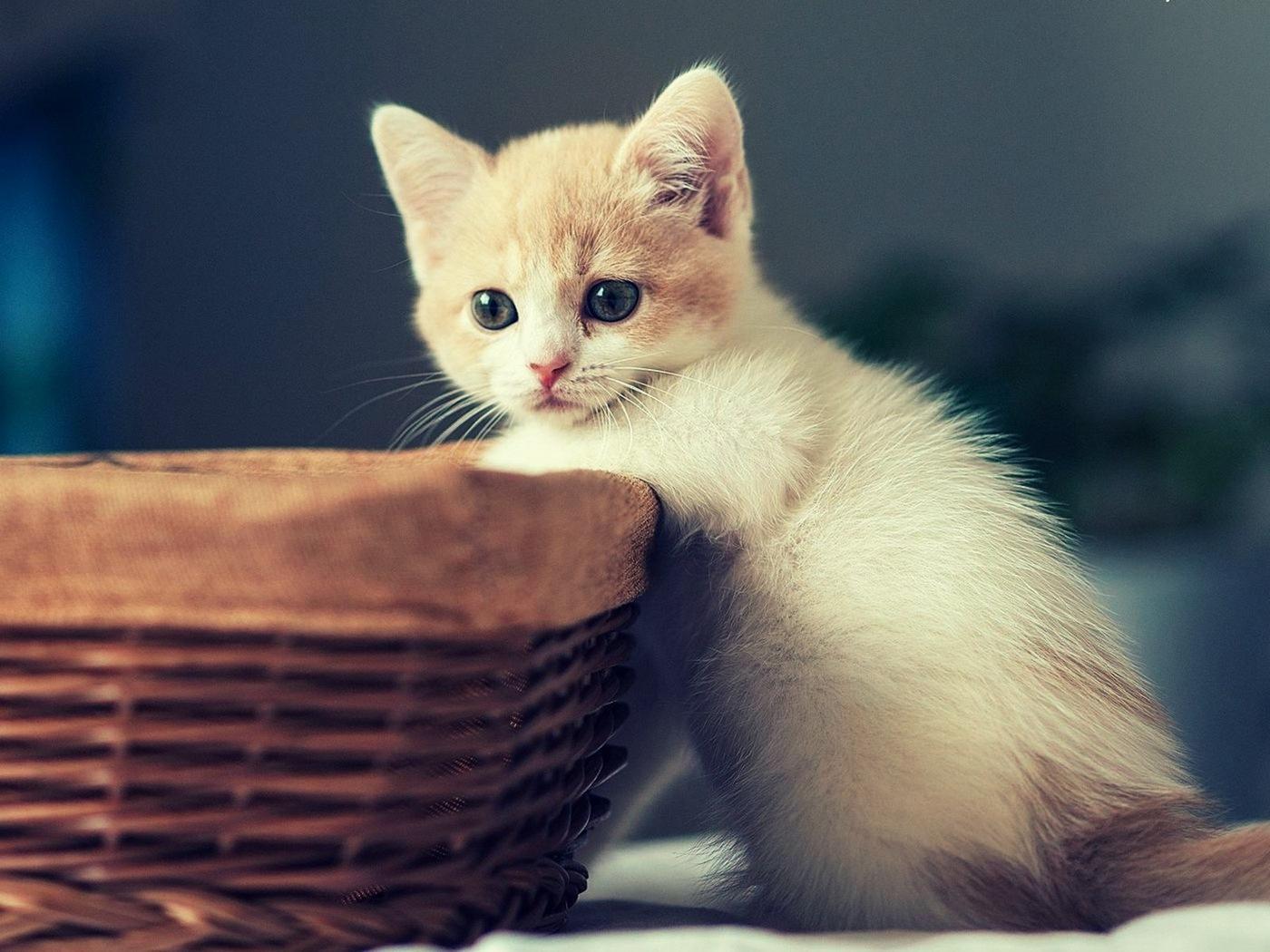 kitten_basket_sit_kid_91877_1400x1050 by abdhkmpld