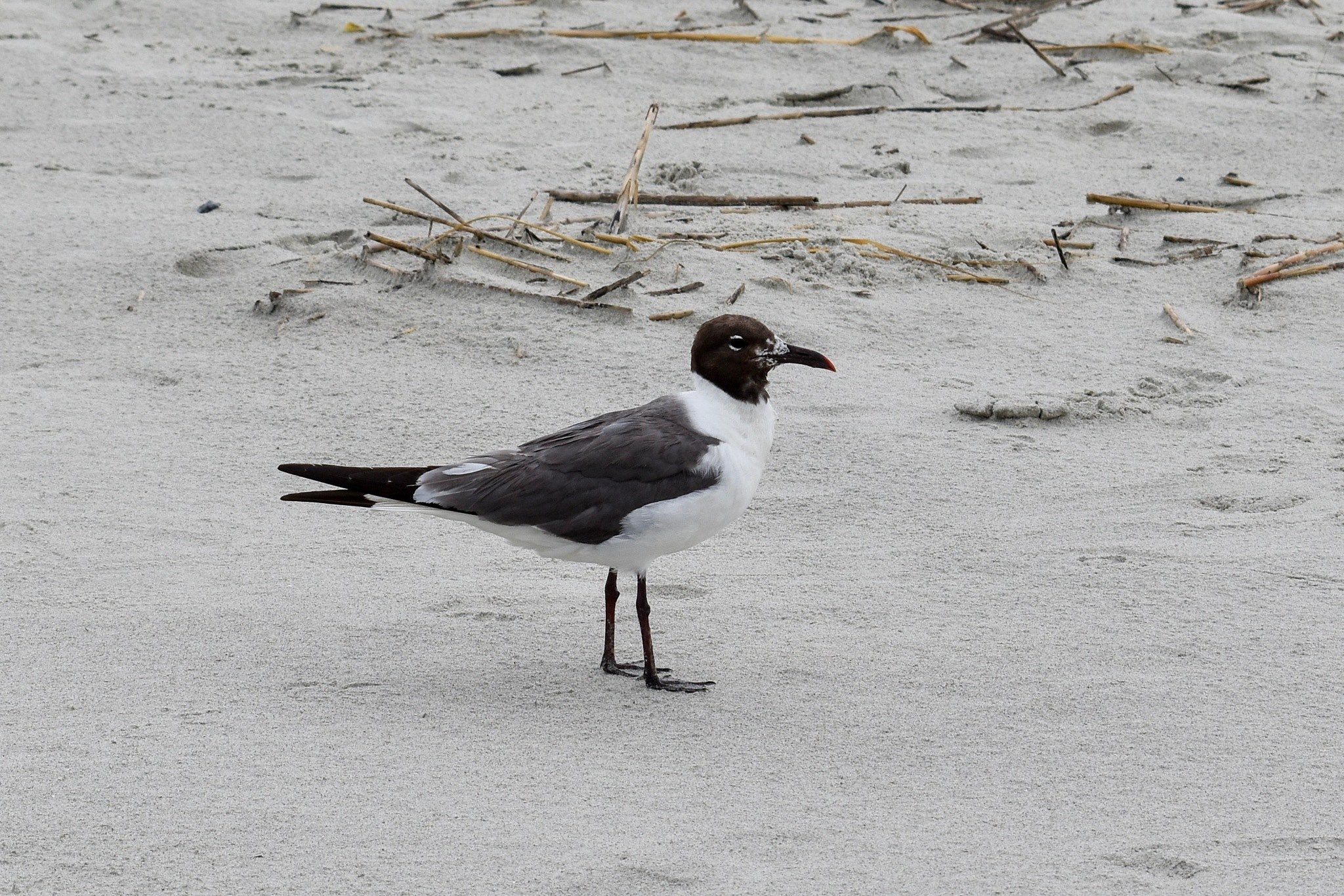 Seagull In the Sand  by Lindsay Marie Hamm