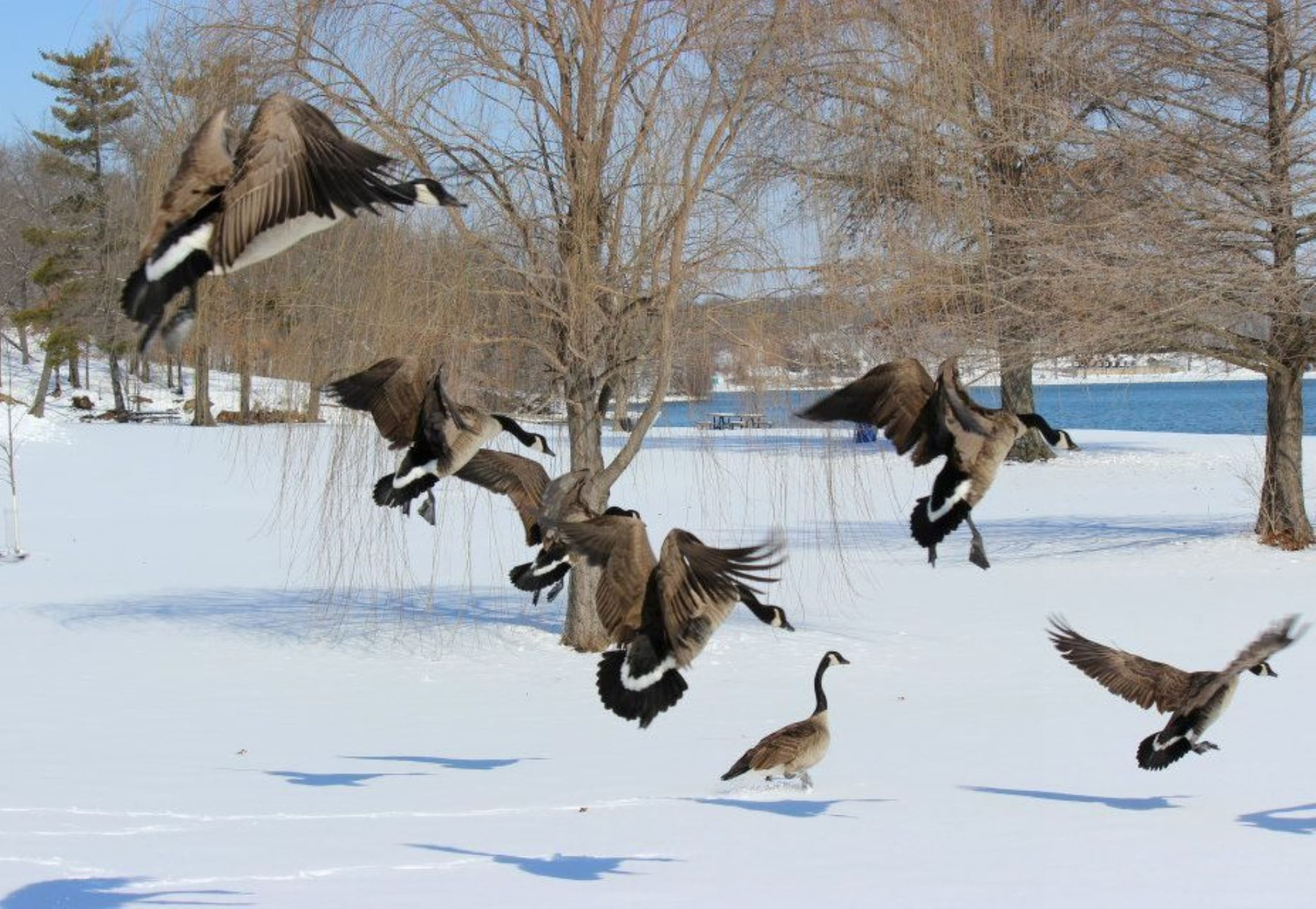 geese by susan.stark.18