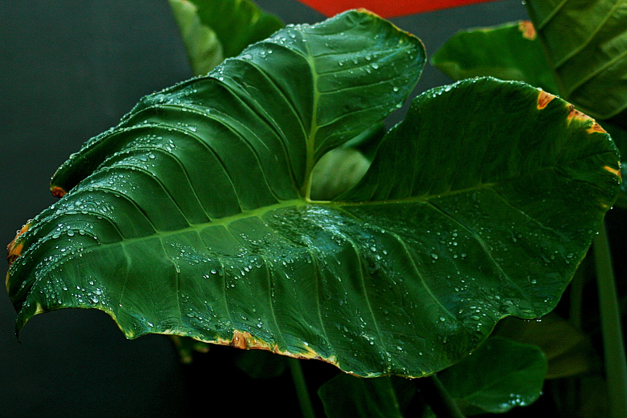 green leaf by masedlolur