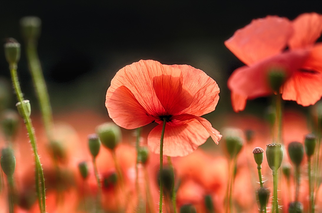 Red Poppy by cerijones14019