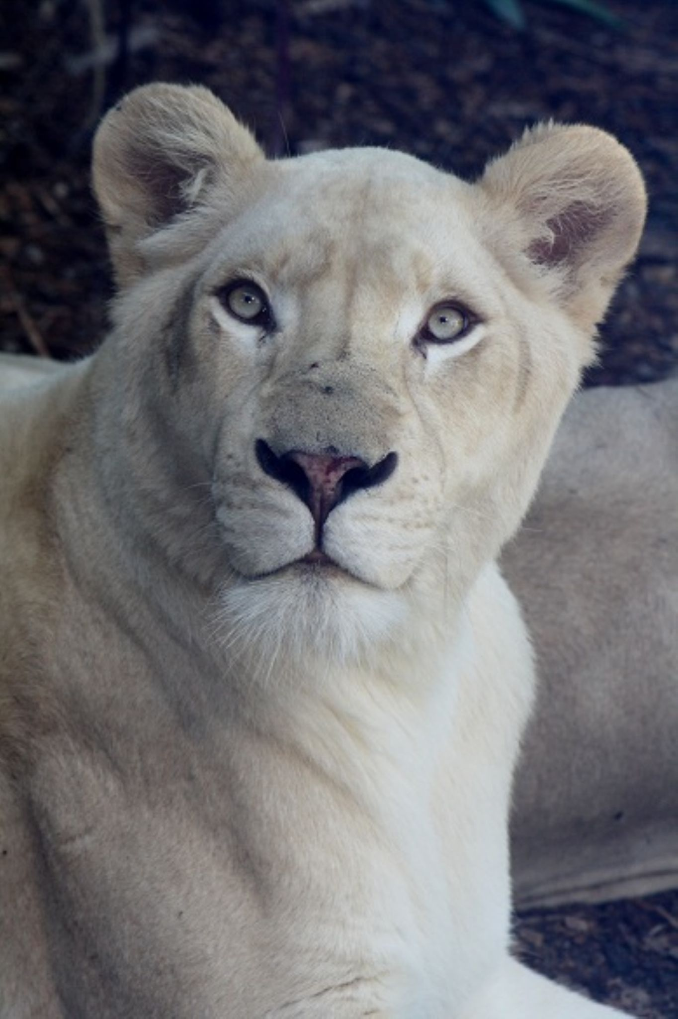 White Lion by michelle_cop_Photography