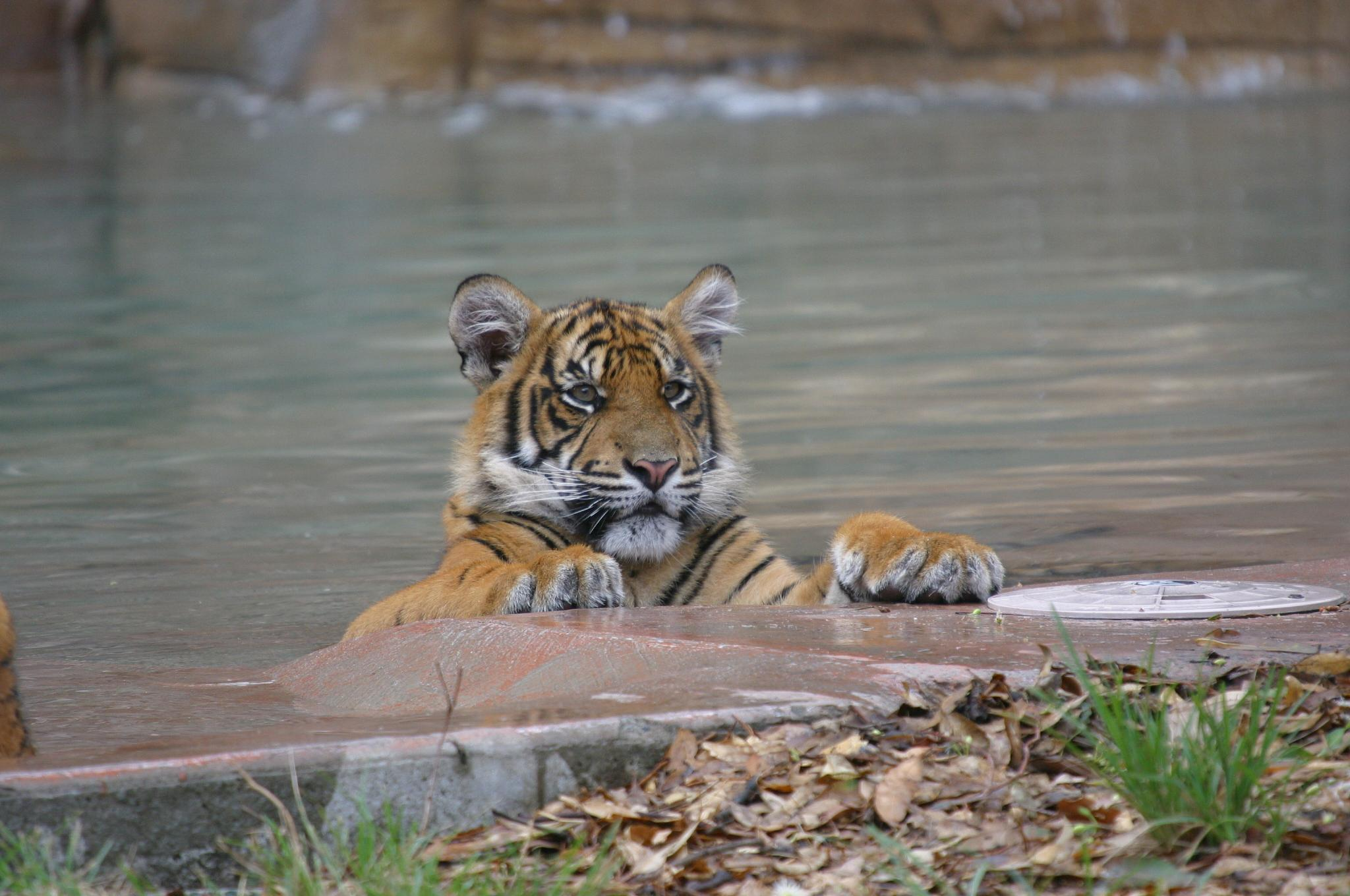 Tiger by michelle_cop_Photography