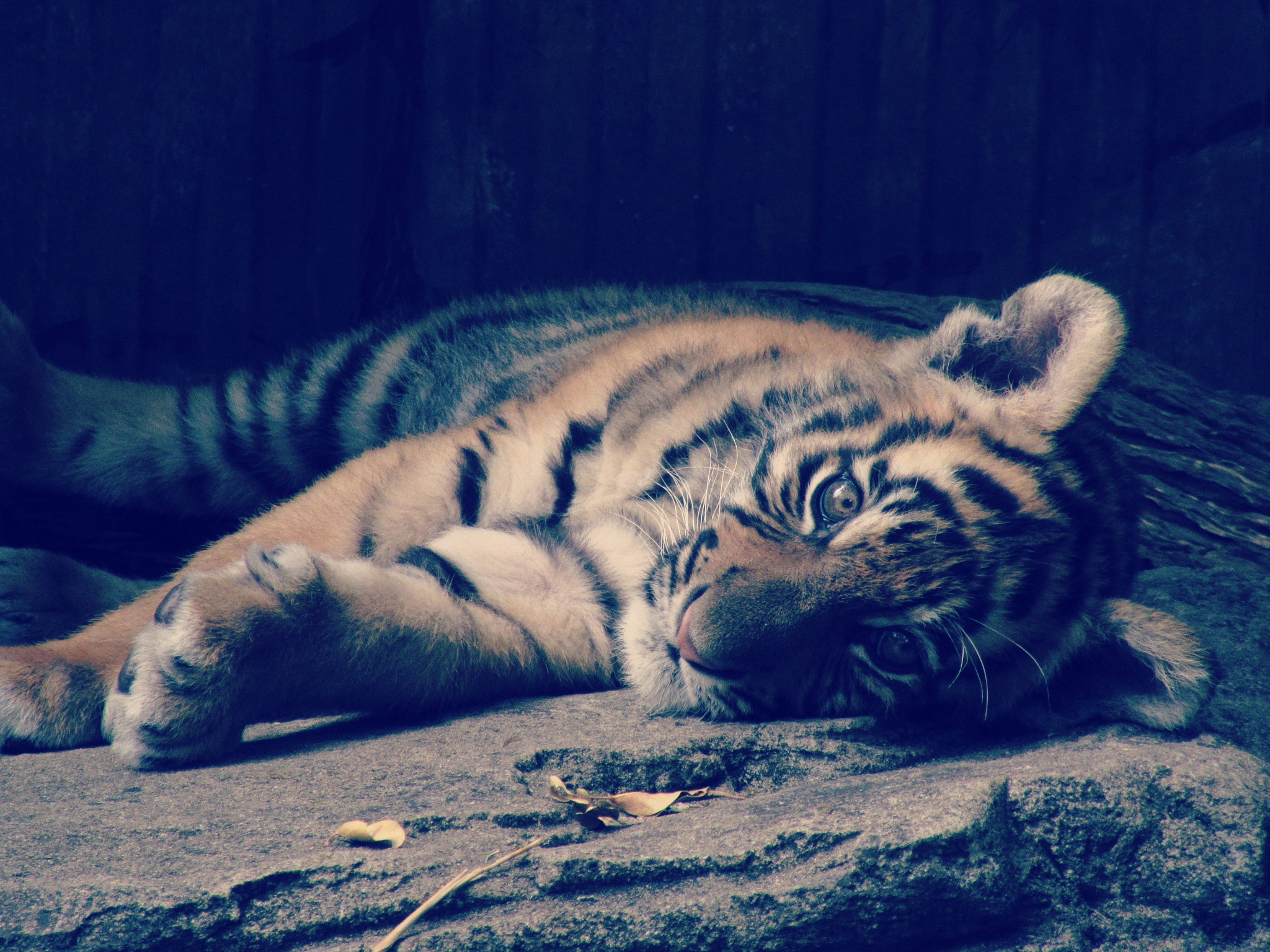 Tiger Cub by michelle_cop_Photography