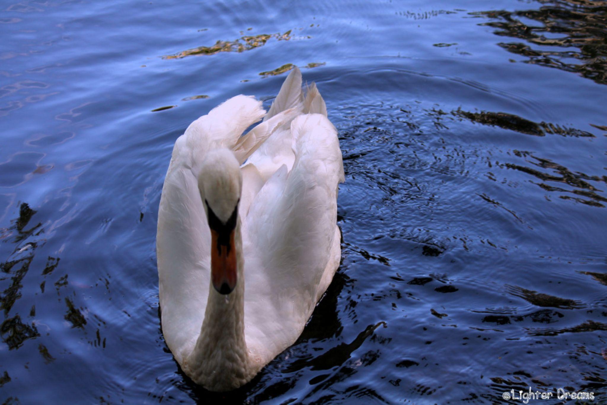 Swan by LighterDreams