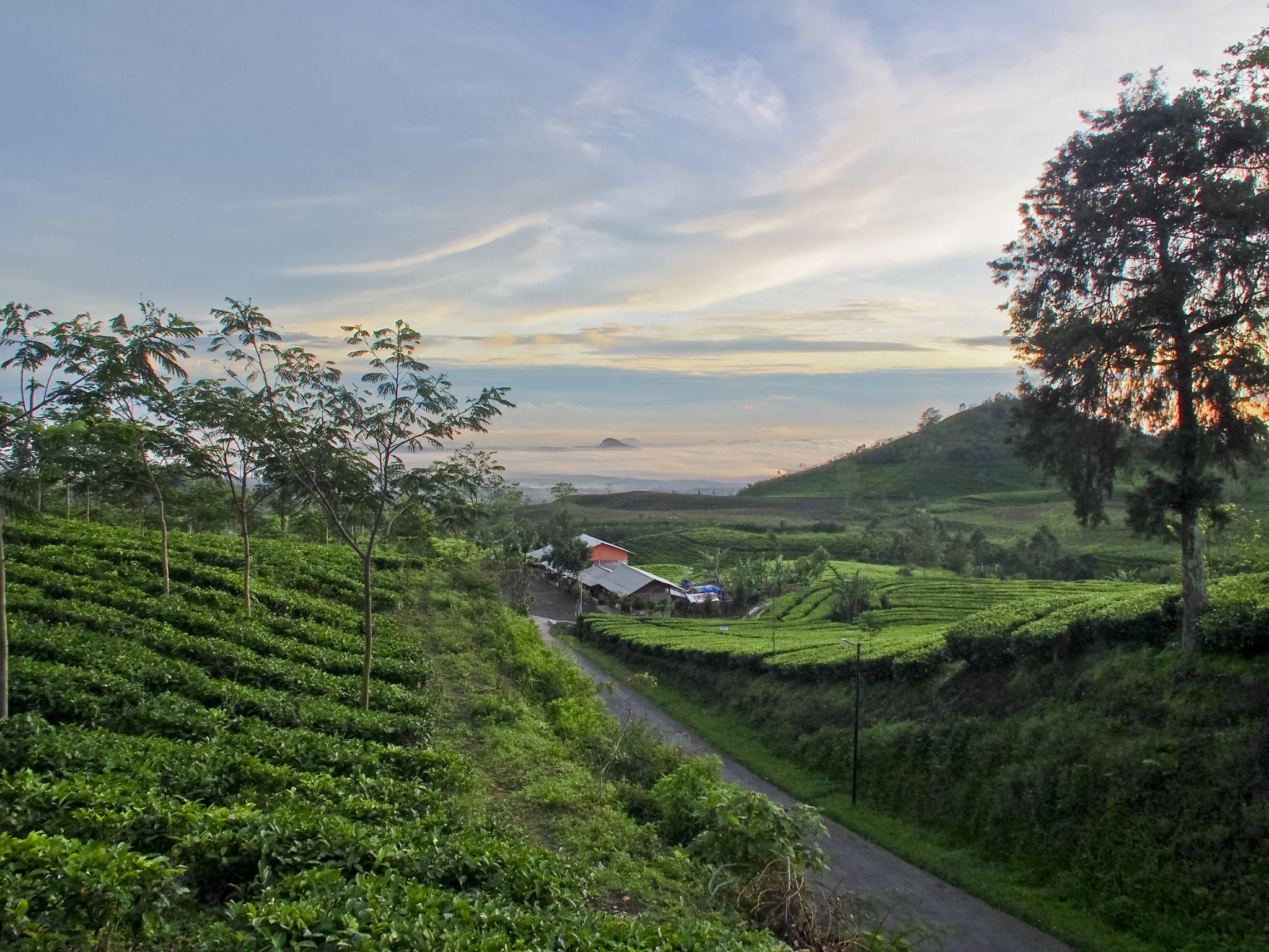 sunrise at a tea plantation by Victor Kam