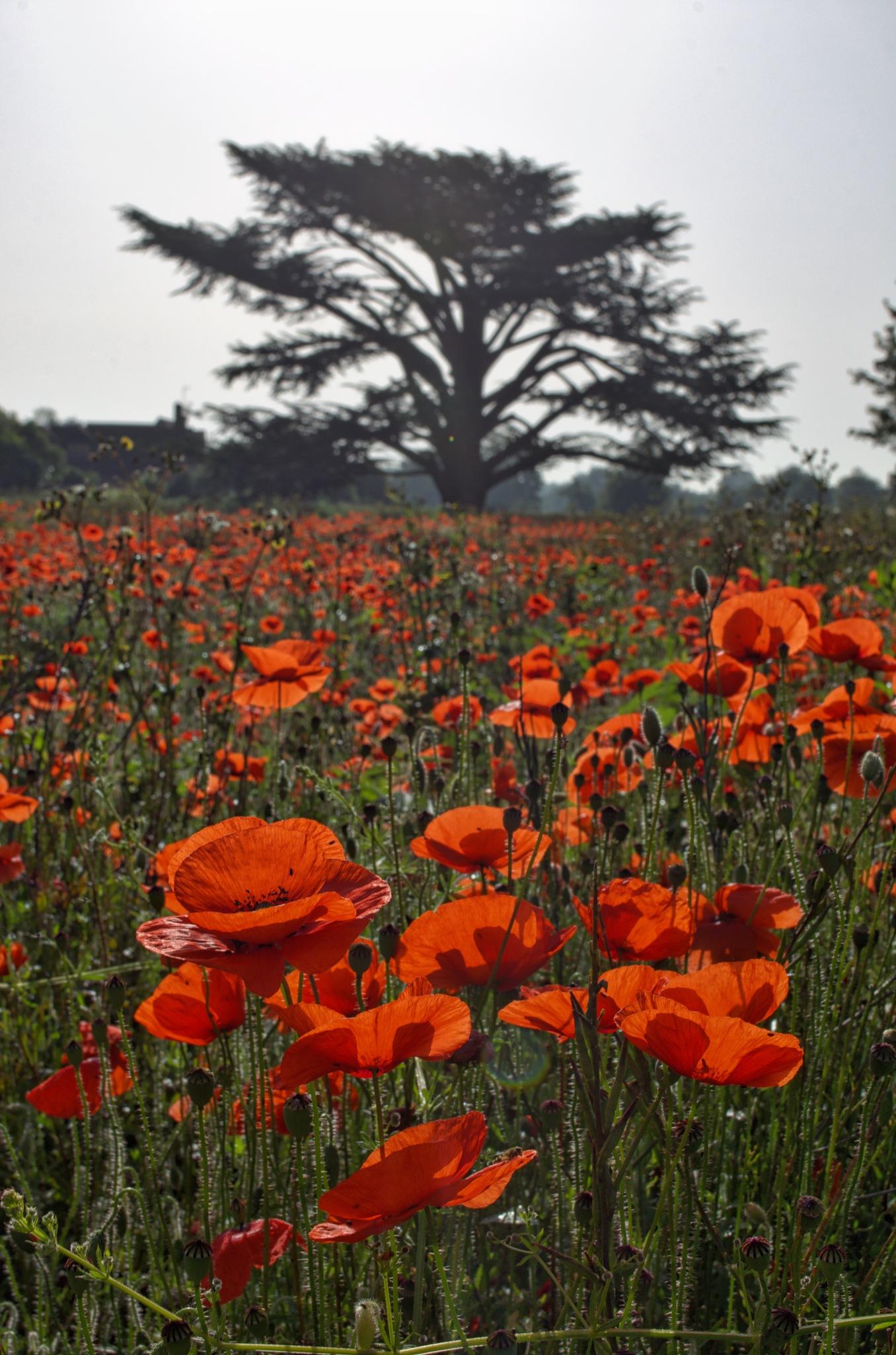 Poppy Meadow by DJW