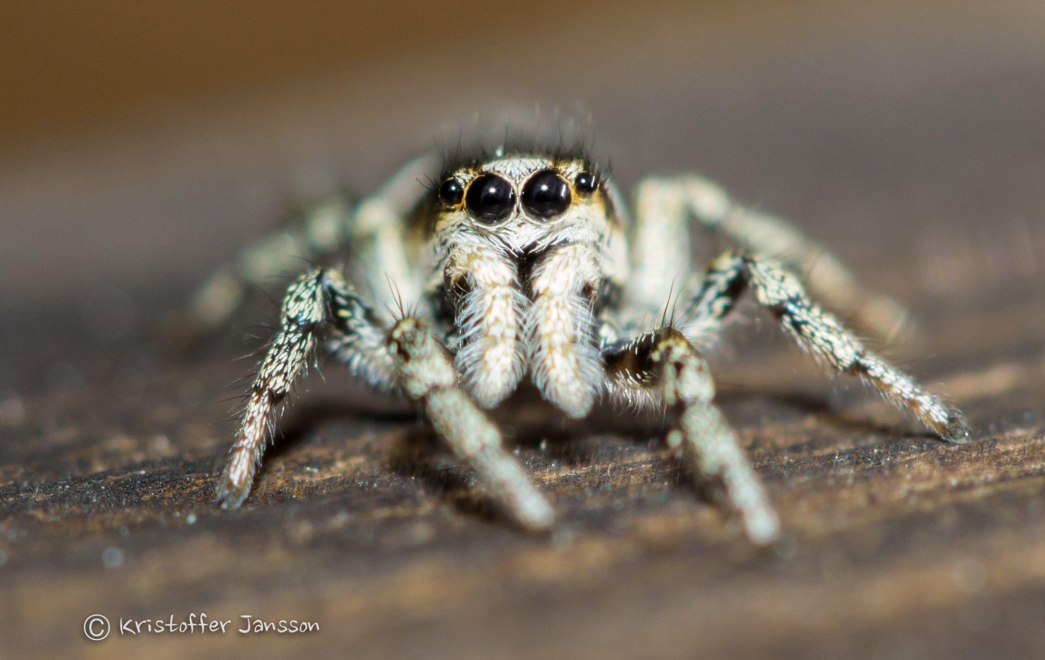 Spider by kristoffer jansson