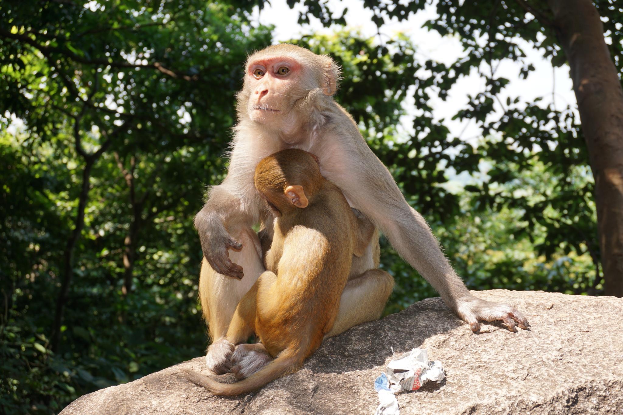 Monkey at Trikut Hill by Palash Naskar