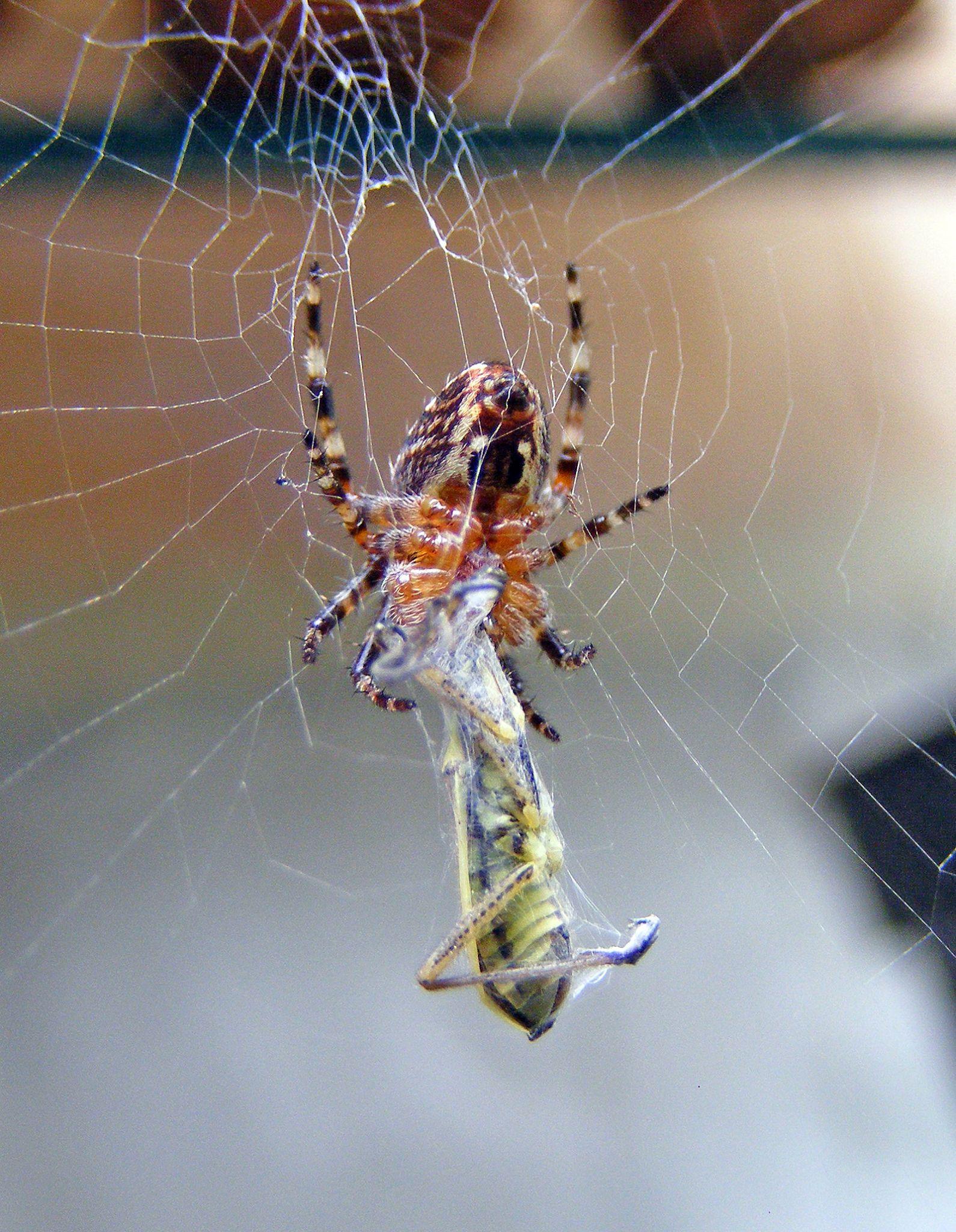 Garden Spider Feeding by petekphotography