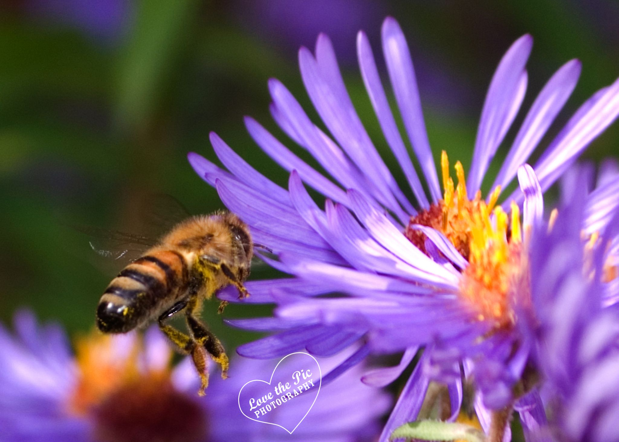 Spring Bee by Love The Pic Photography