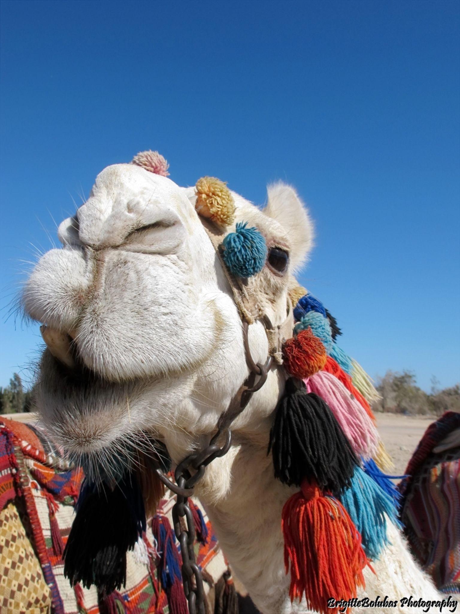 camel :) by LiliomToursBrigitta