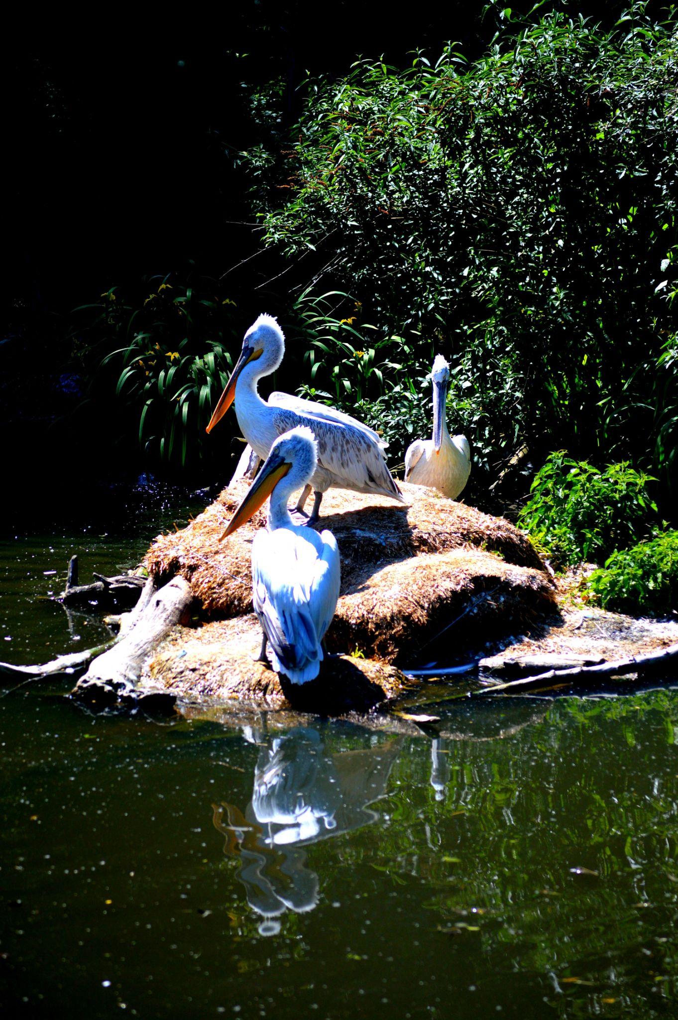 Pelikane by ula.redl