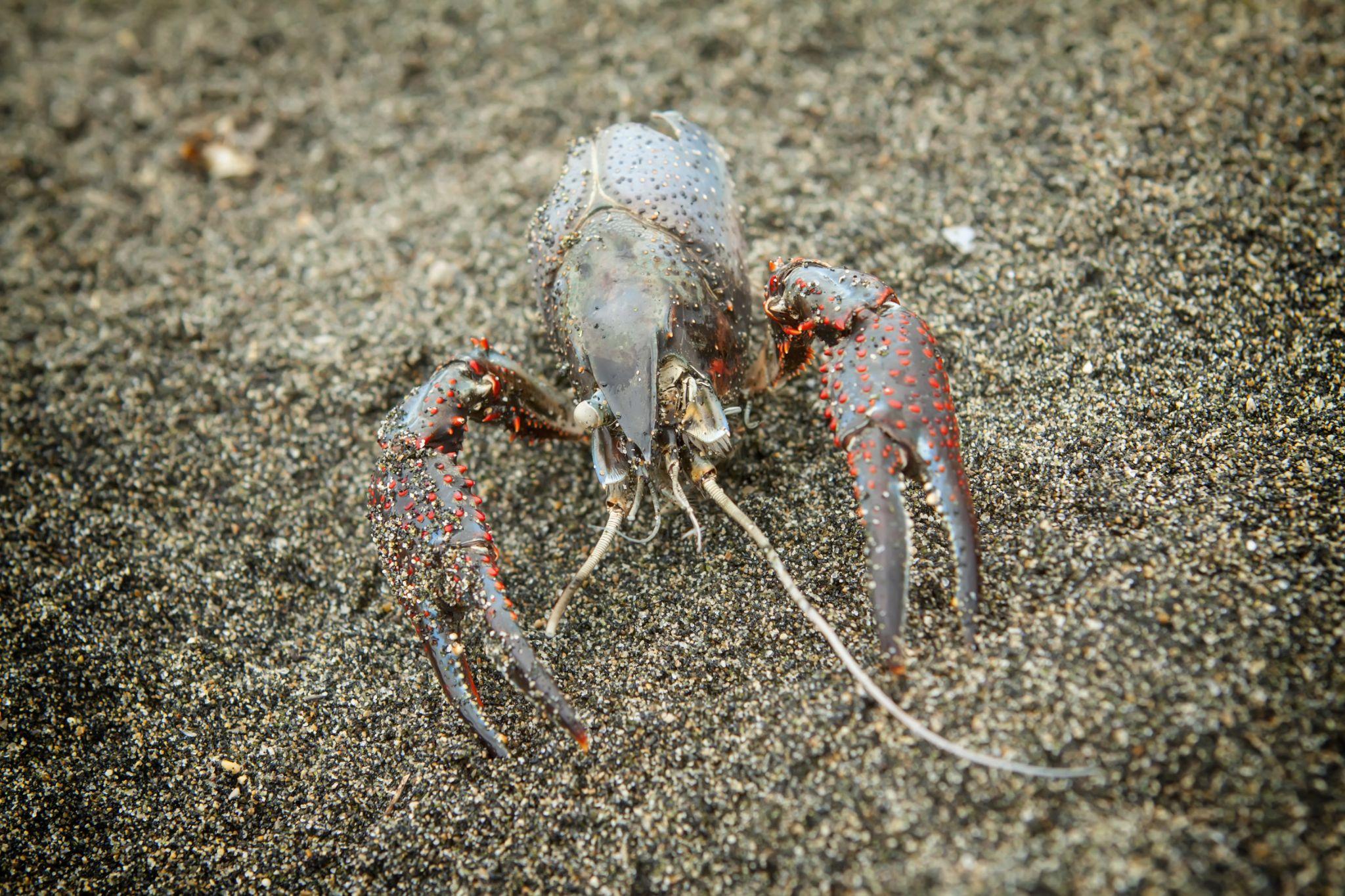 crab by grzegorzbuchaczart