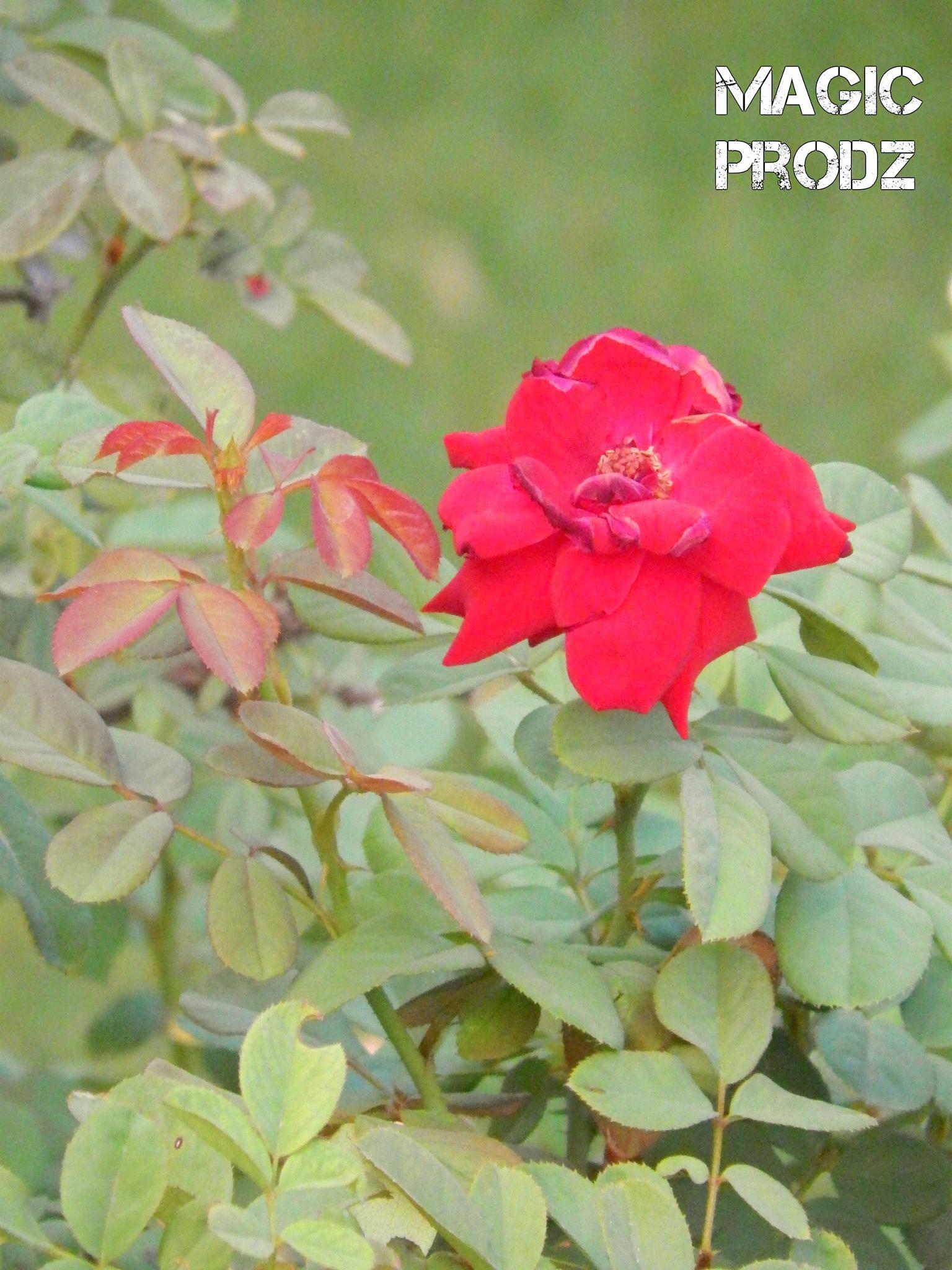 rose by Talha Naseer Hotiana