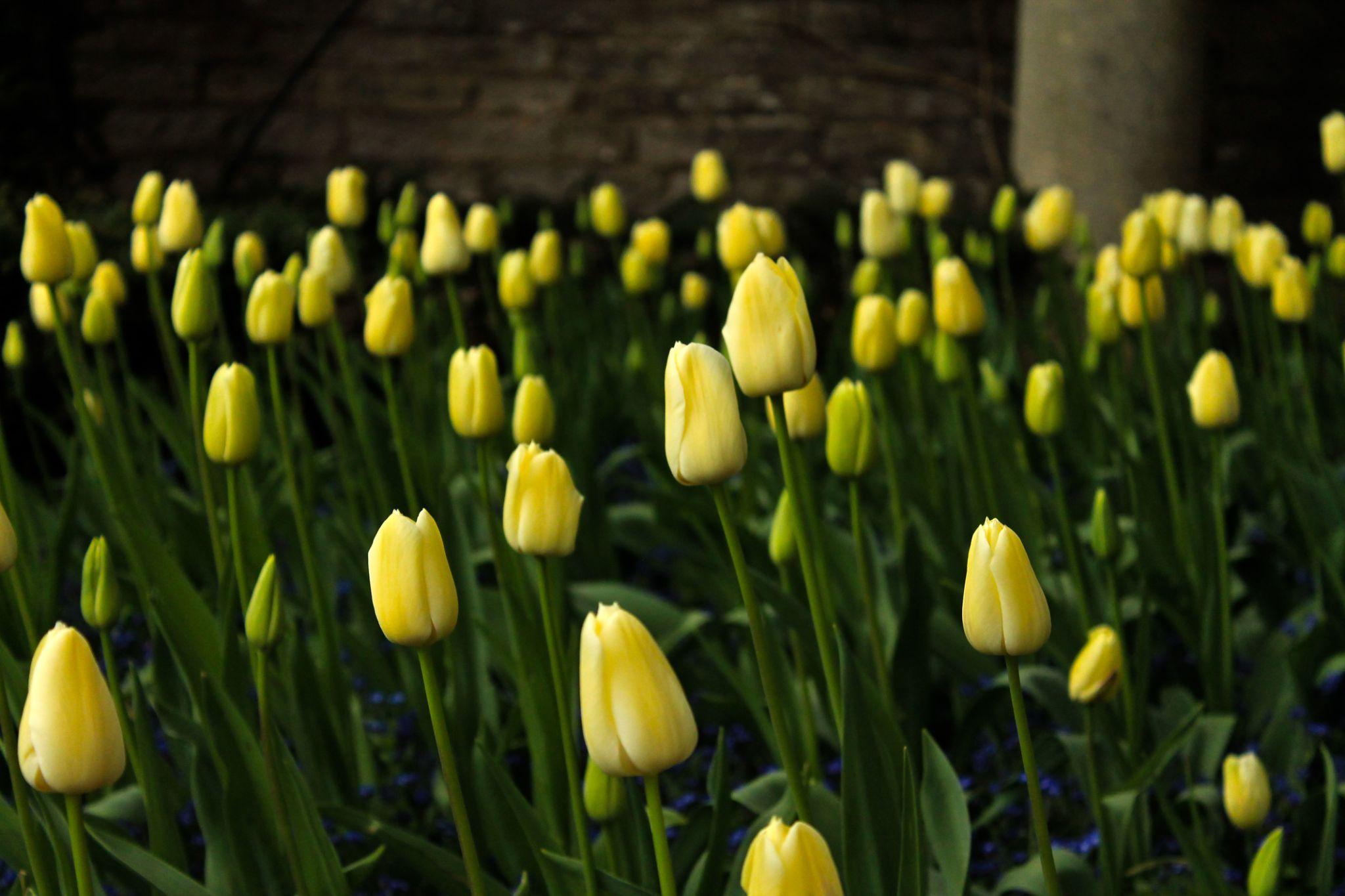 Tulips by michaela.tuff