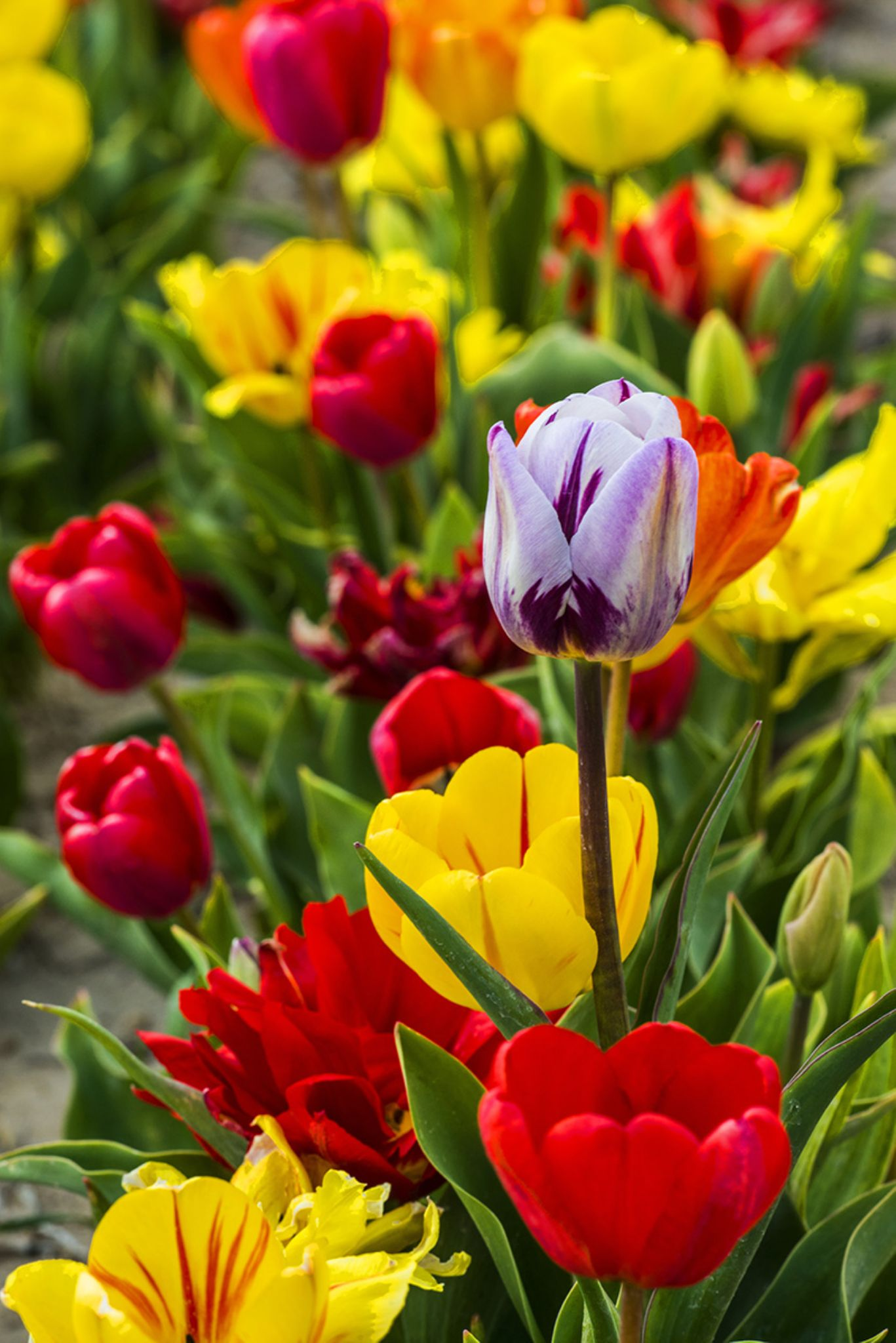 Tulips by mustafaozdemirphotography