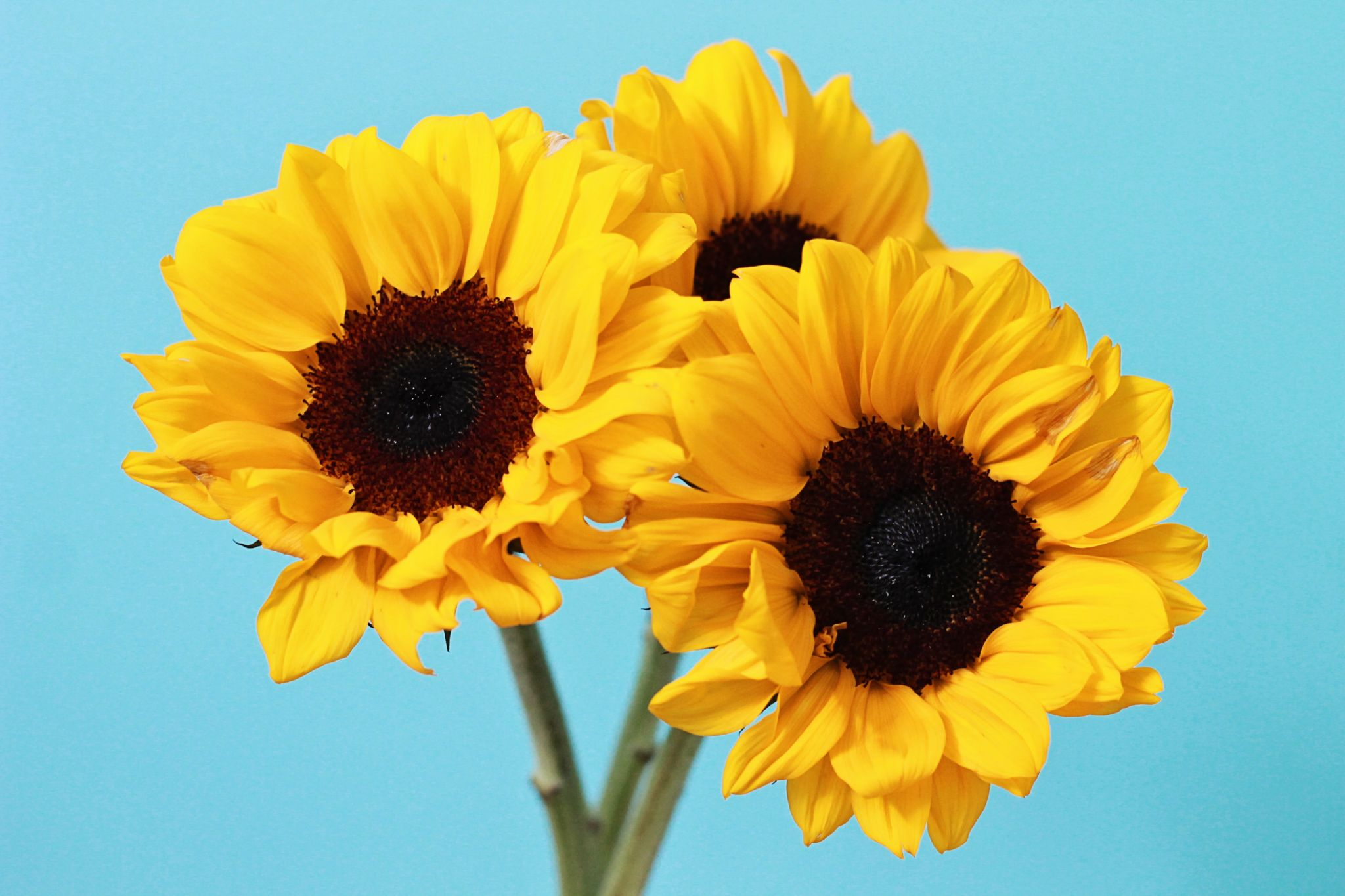 Karli Brooke Photography - Sunflowers by karlibrookephotography