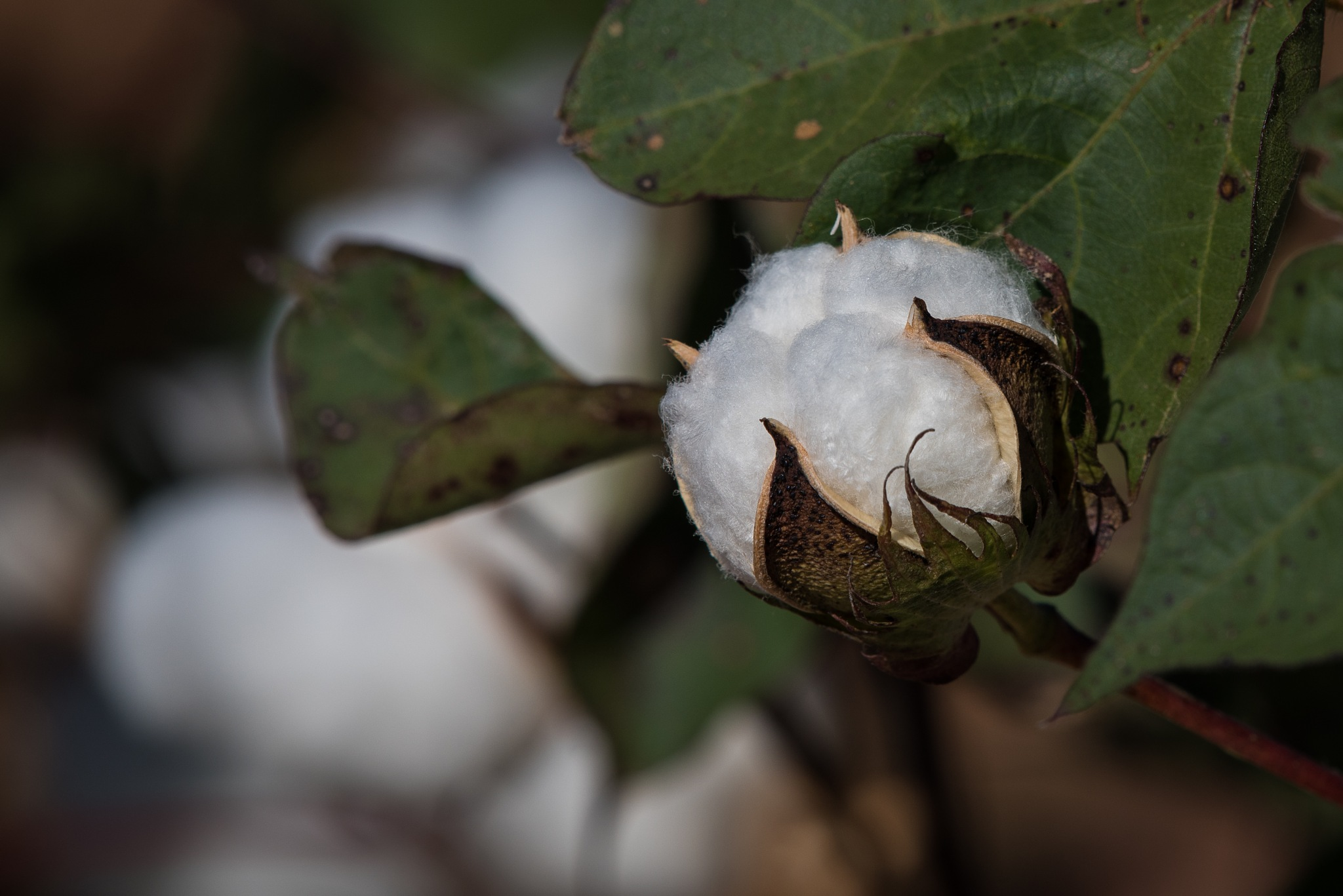 King Cotton in the Field by Steve Aicinena