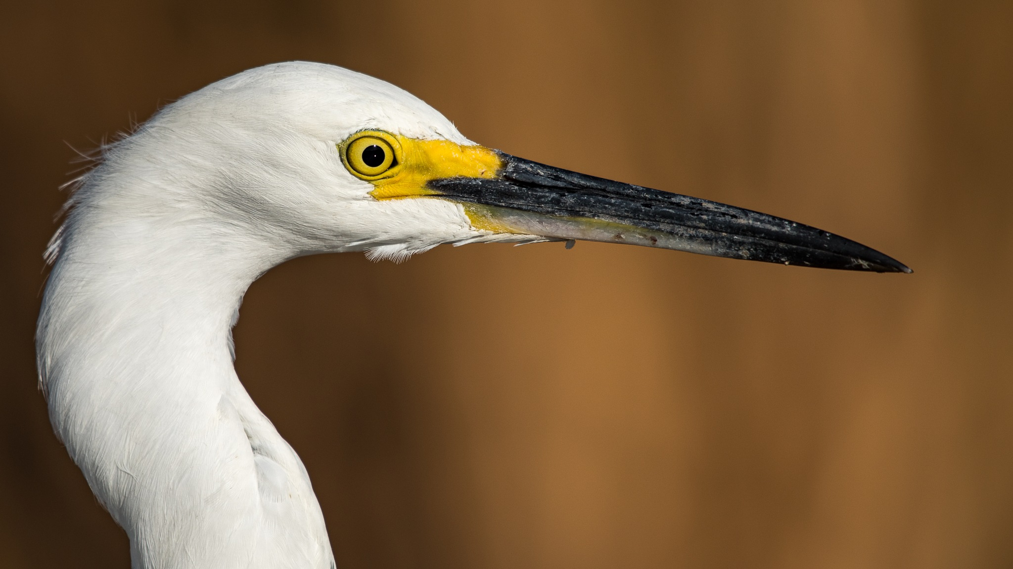 Great Egret Profile by Steve Aicinena
