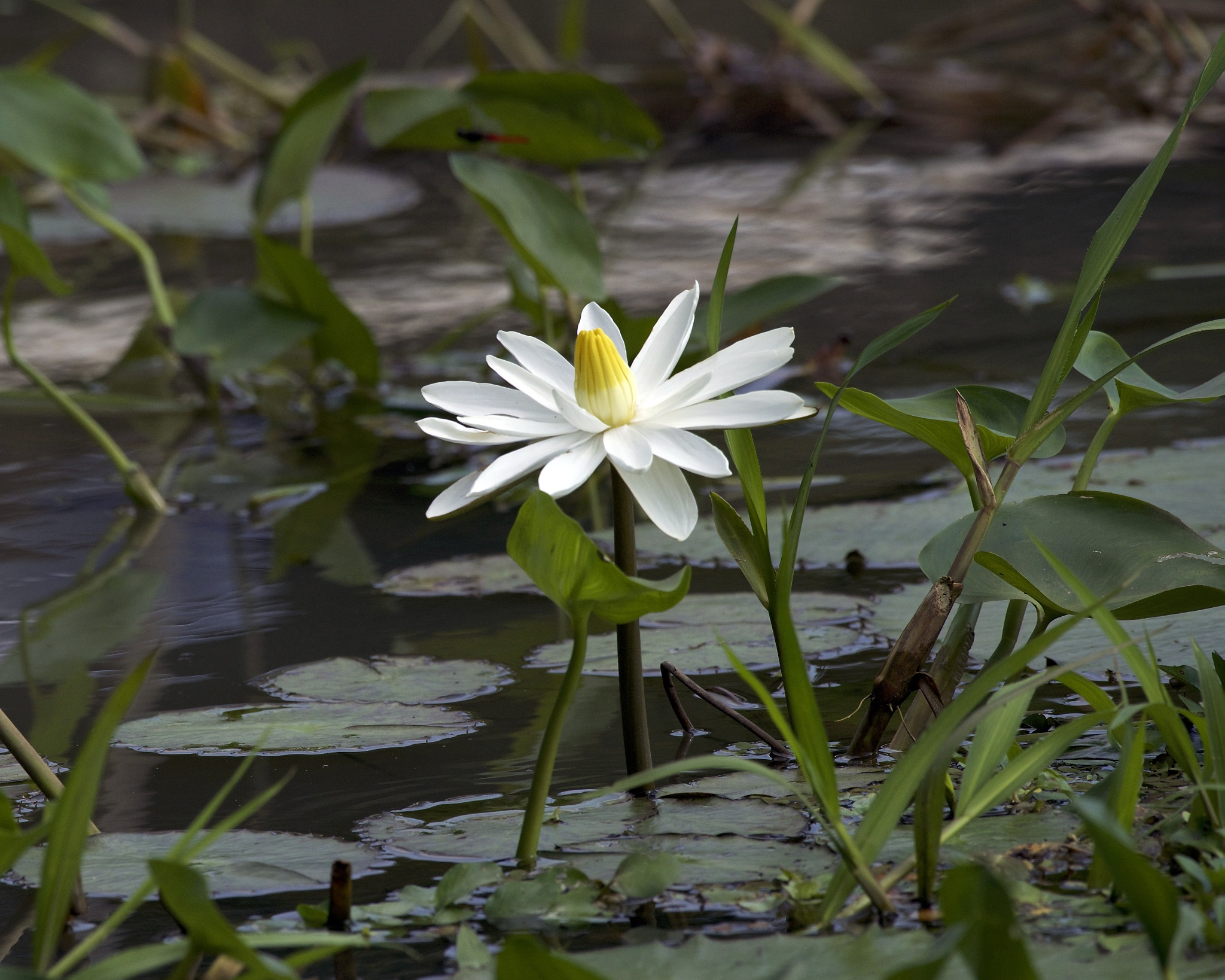 Water Lilly by Steve Aicinena